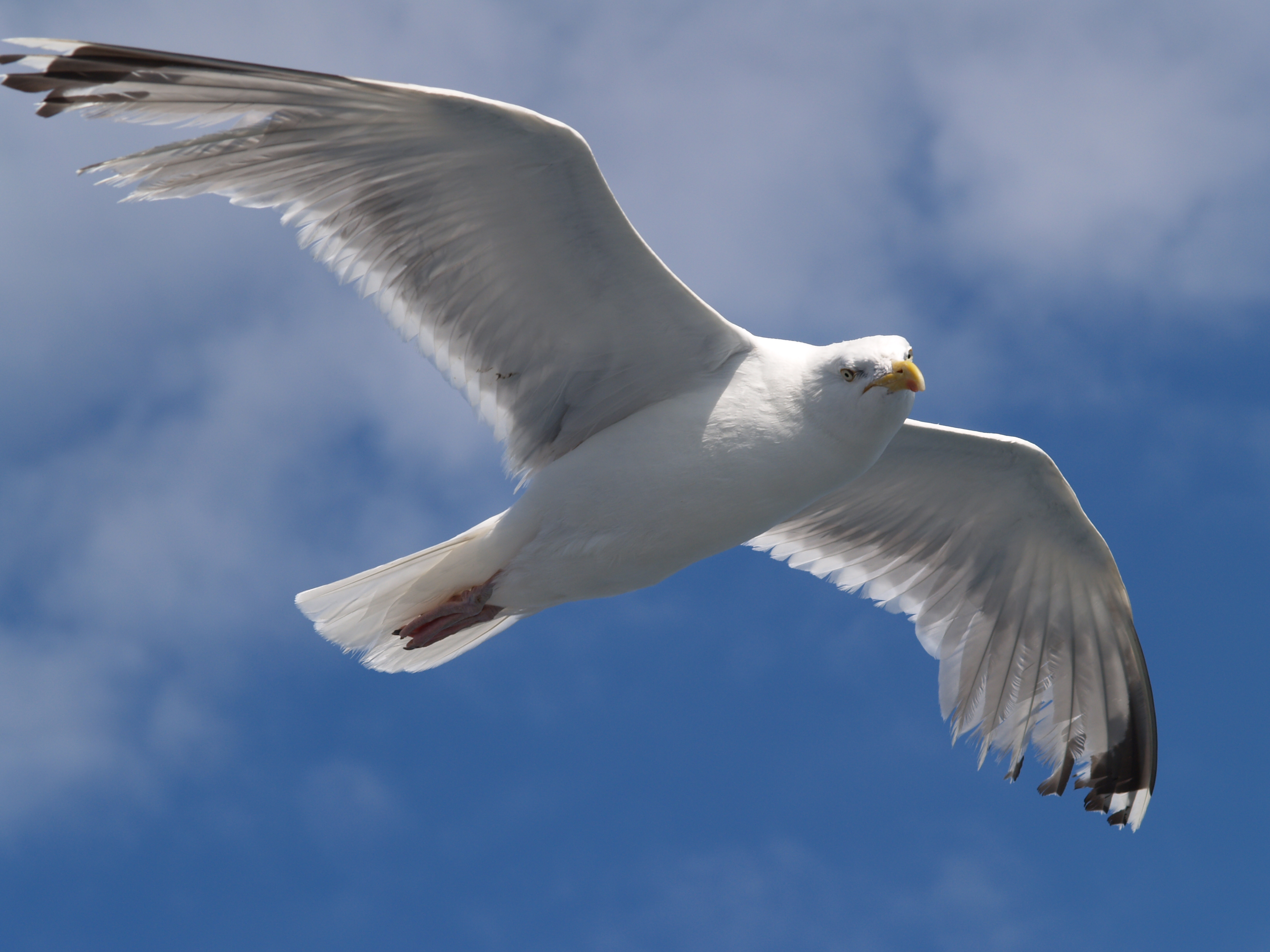 File:Seagull flying (4).jpg - Wikimedia Commons