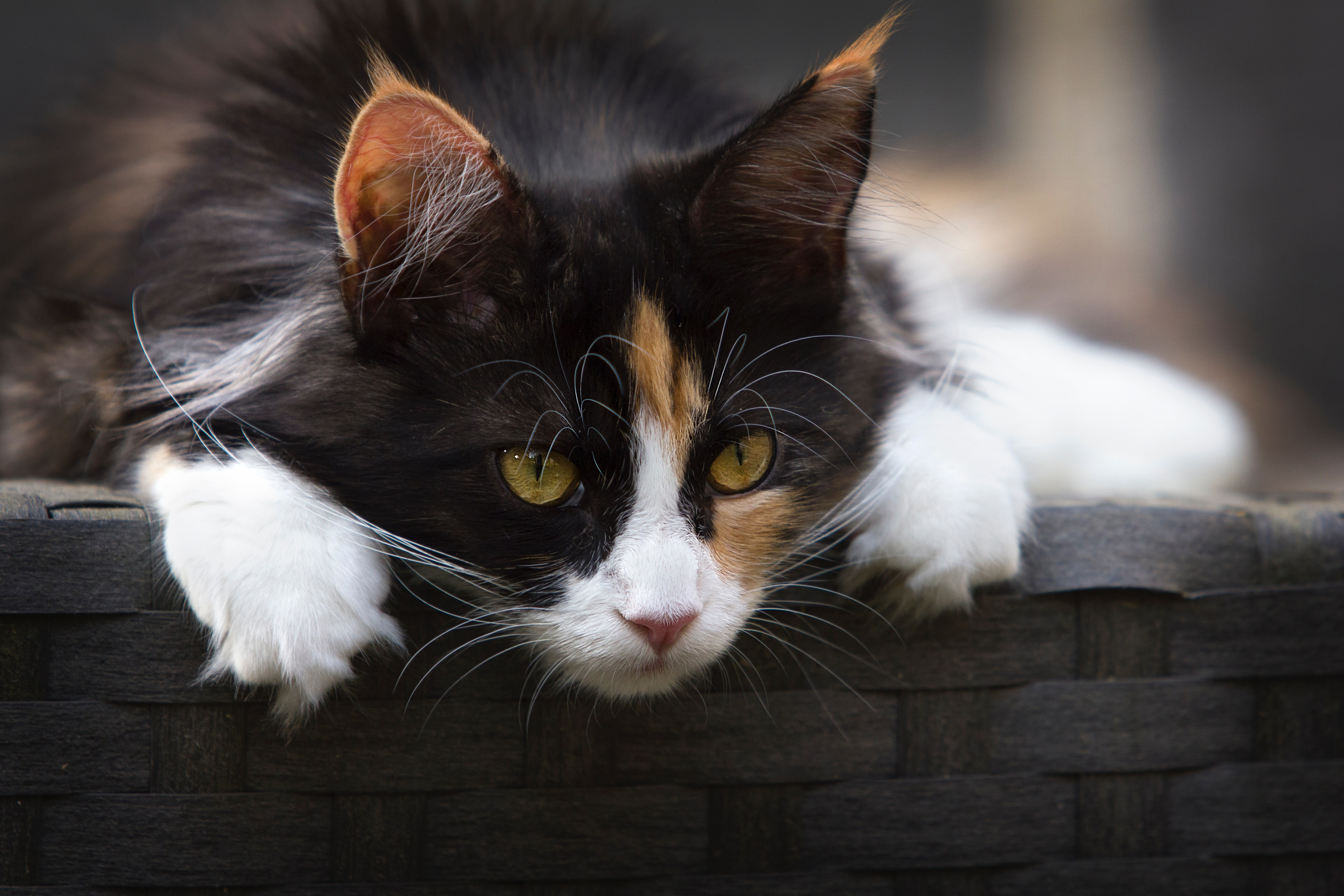 Focus Photo of Calico Cat, Adorable, Head, Whiskers, Whisker, HQ Photo