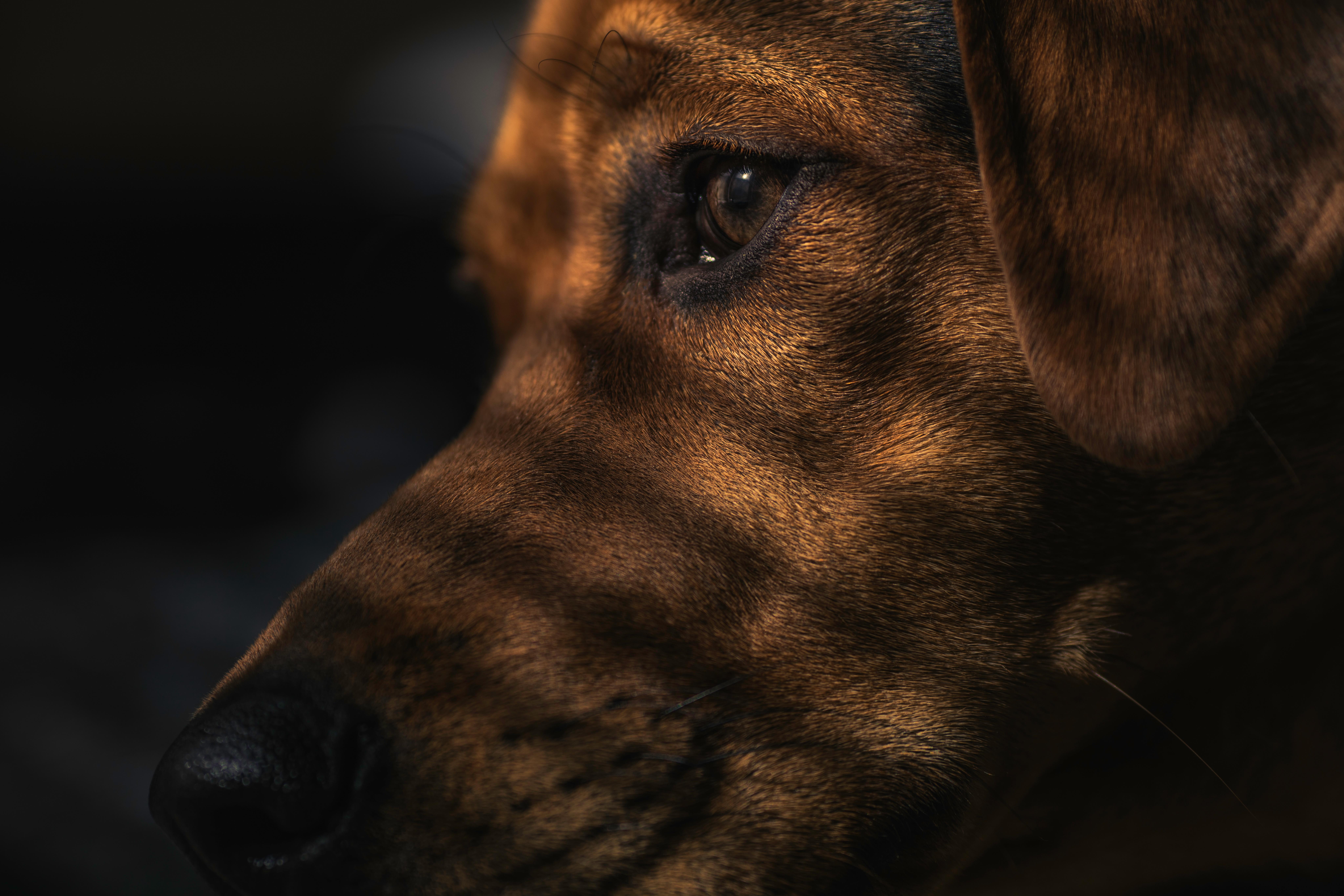 Focus, Animal, Brown, Close, Dog, HQ Photo