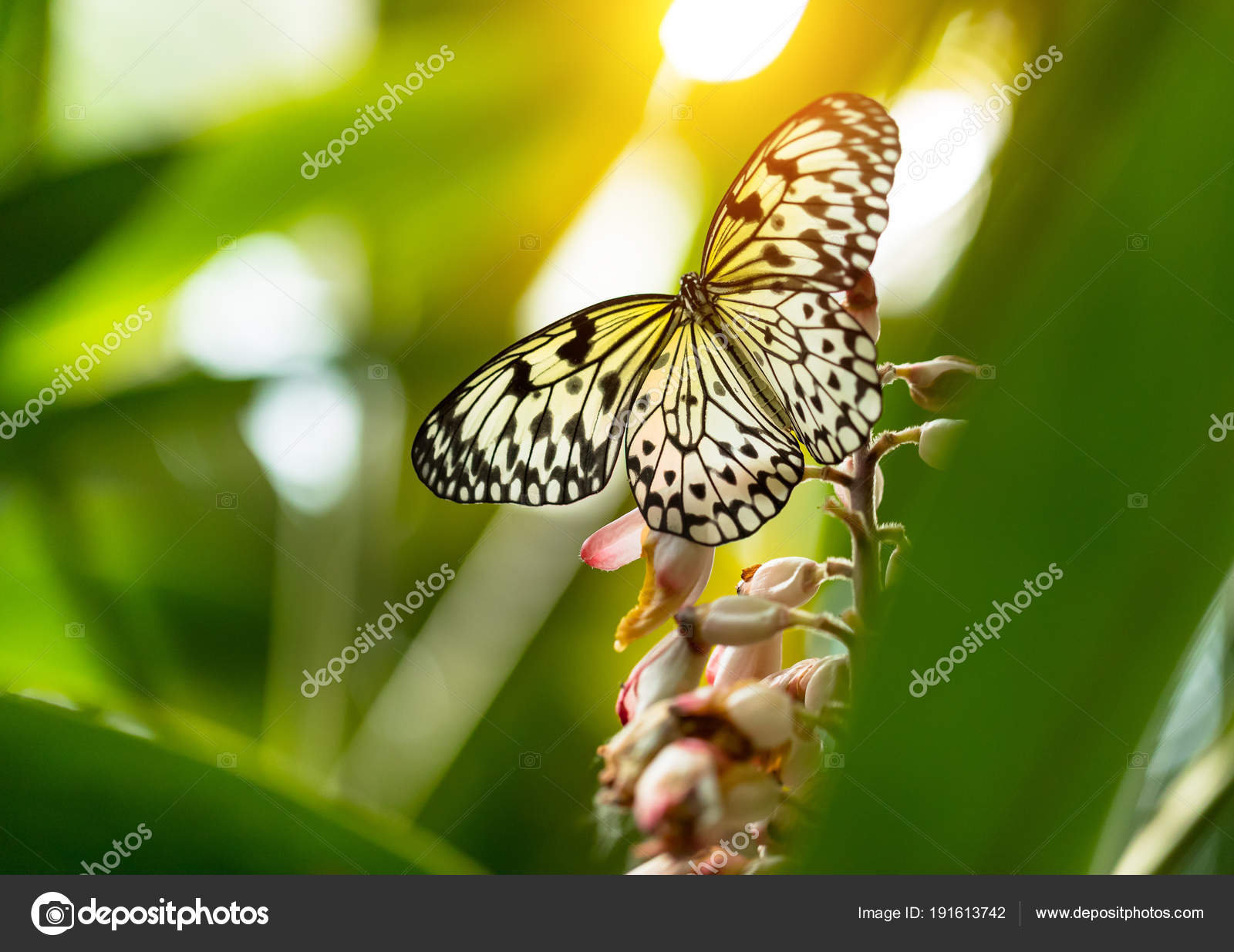 Beautiful butterfly Paper Kite, Idea leuconoe in tropical forest ...