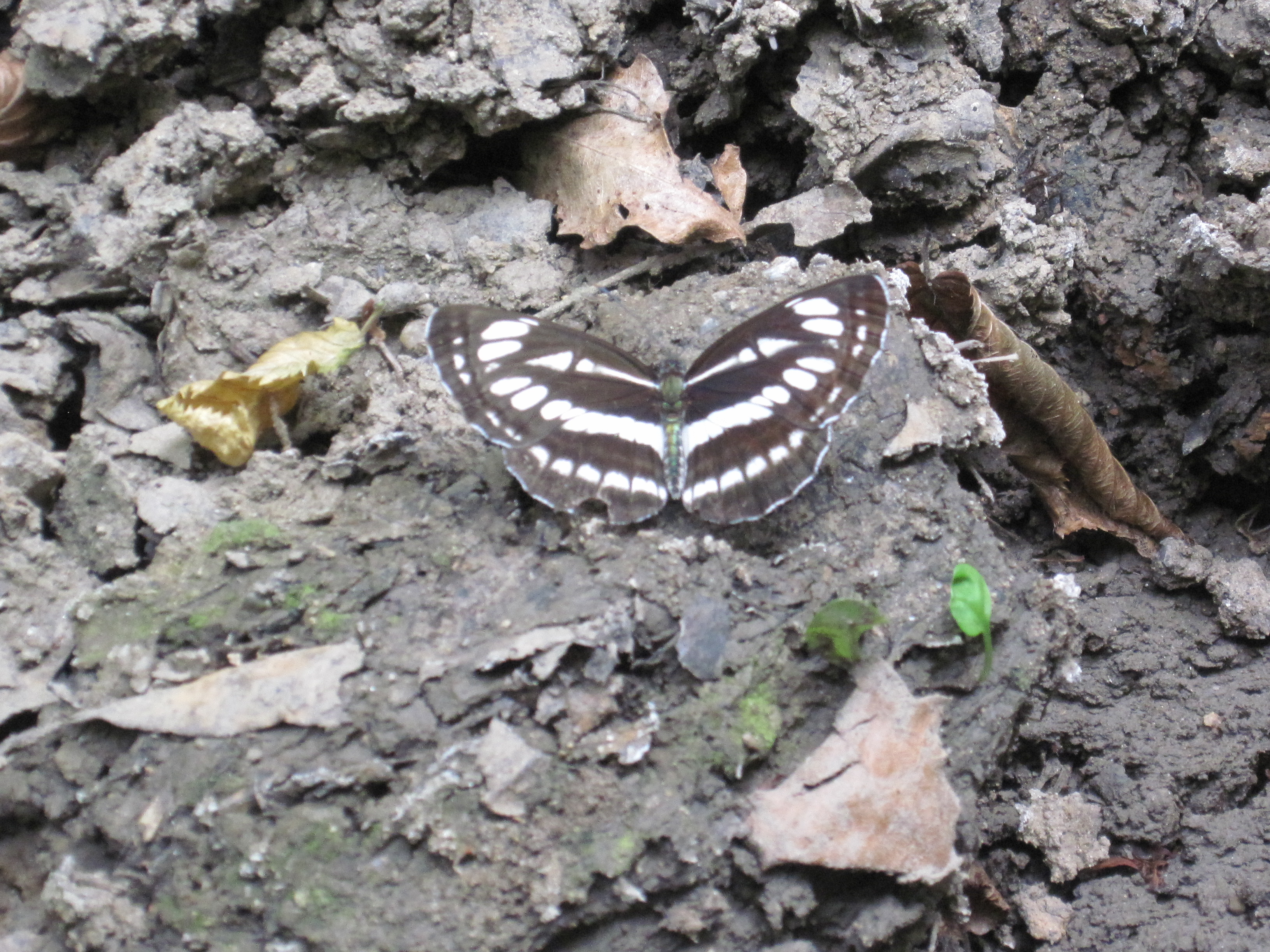 Forest butterfly, Beauty, Butterfly, Dirt, Fauna, HQ Photo