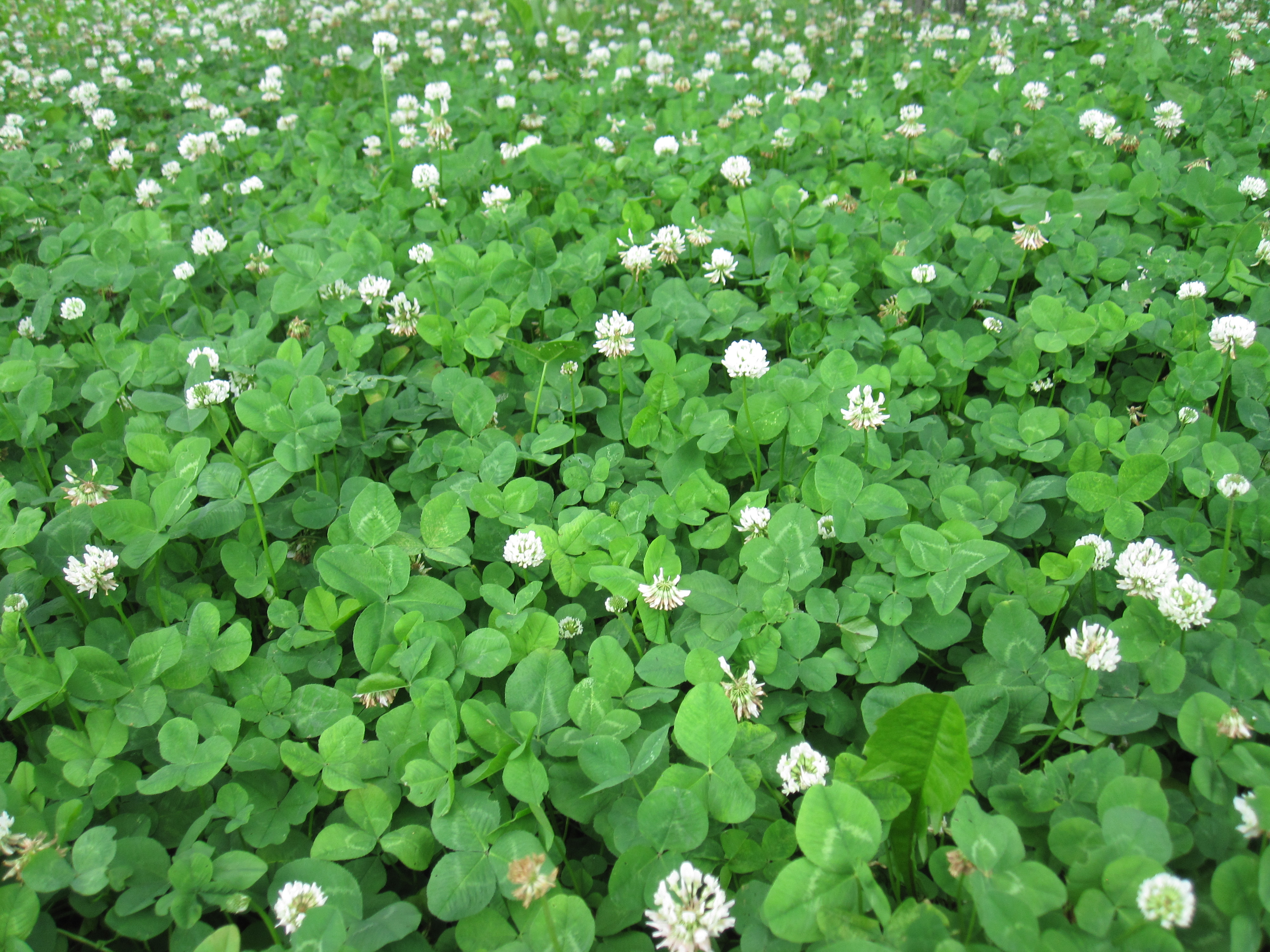 Forest clover photo