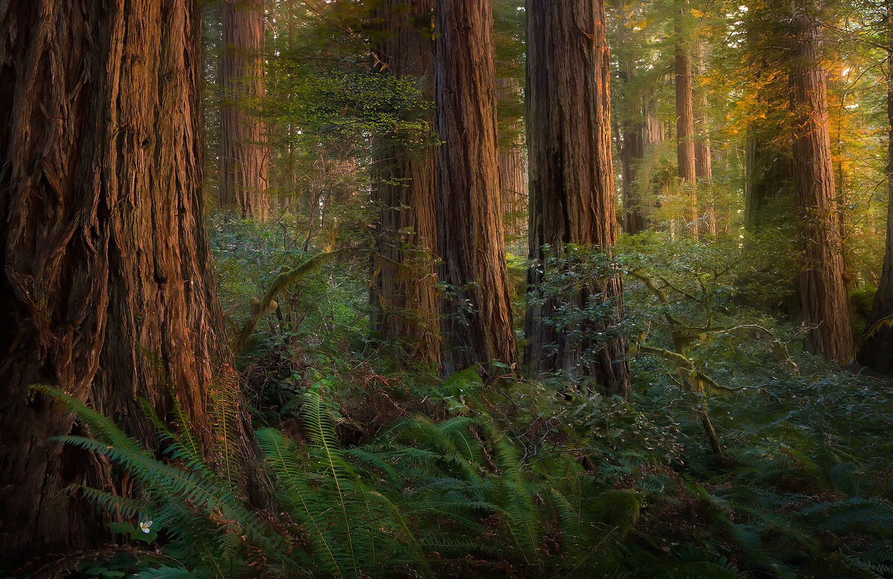 The Sun Forest (2005) | Redwood National Park, California | Marc ...