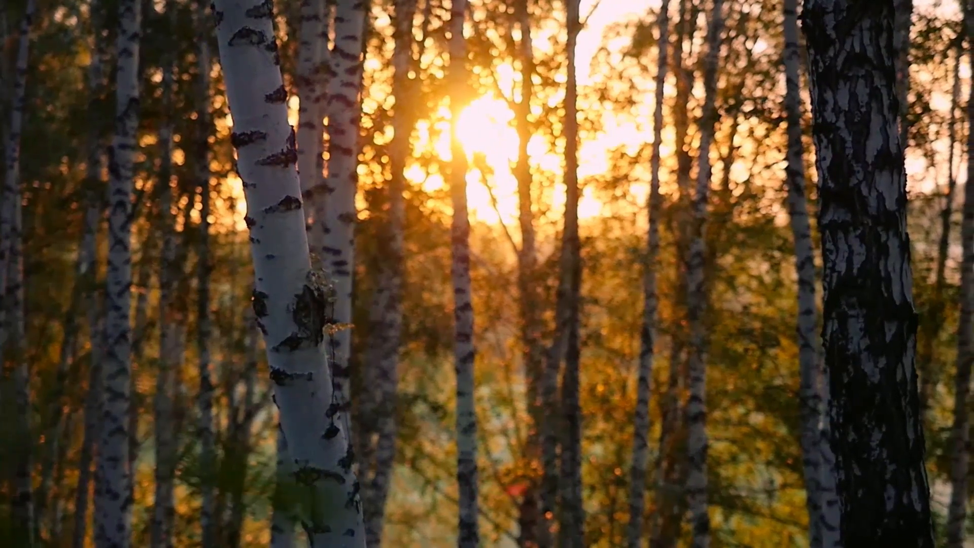 birch trees in a summer forest during sunset in slowmotion. Changes ...