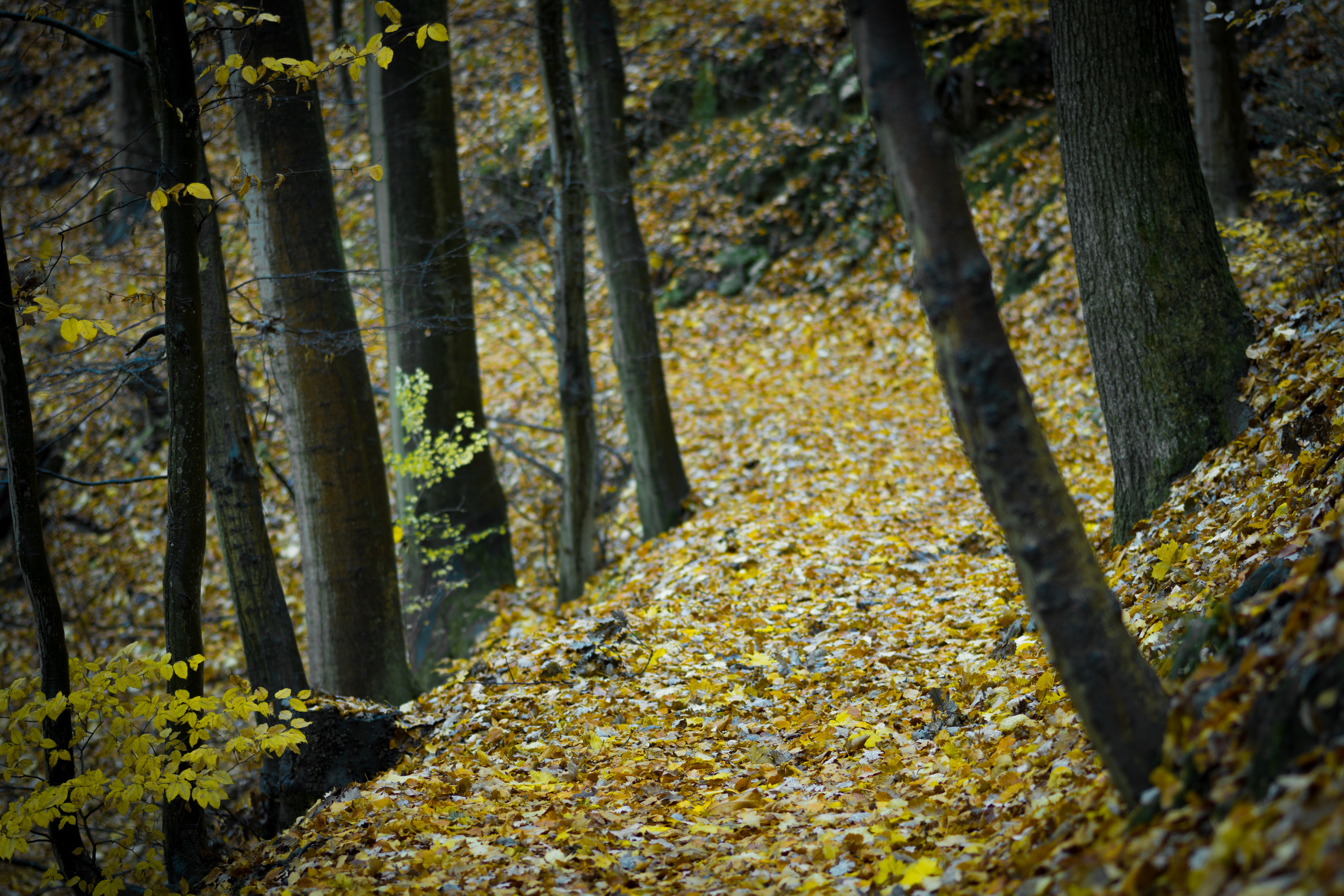 Forest Surrounded by Yellow Leaves on Ground, Autumn, Nature, Trees, Tree trunks, HQ Photo