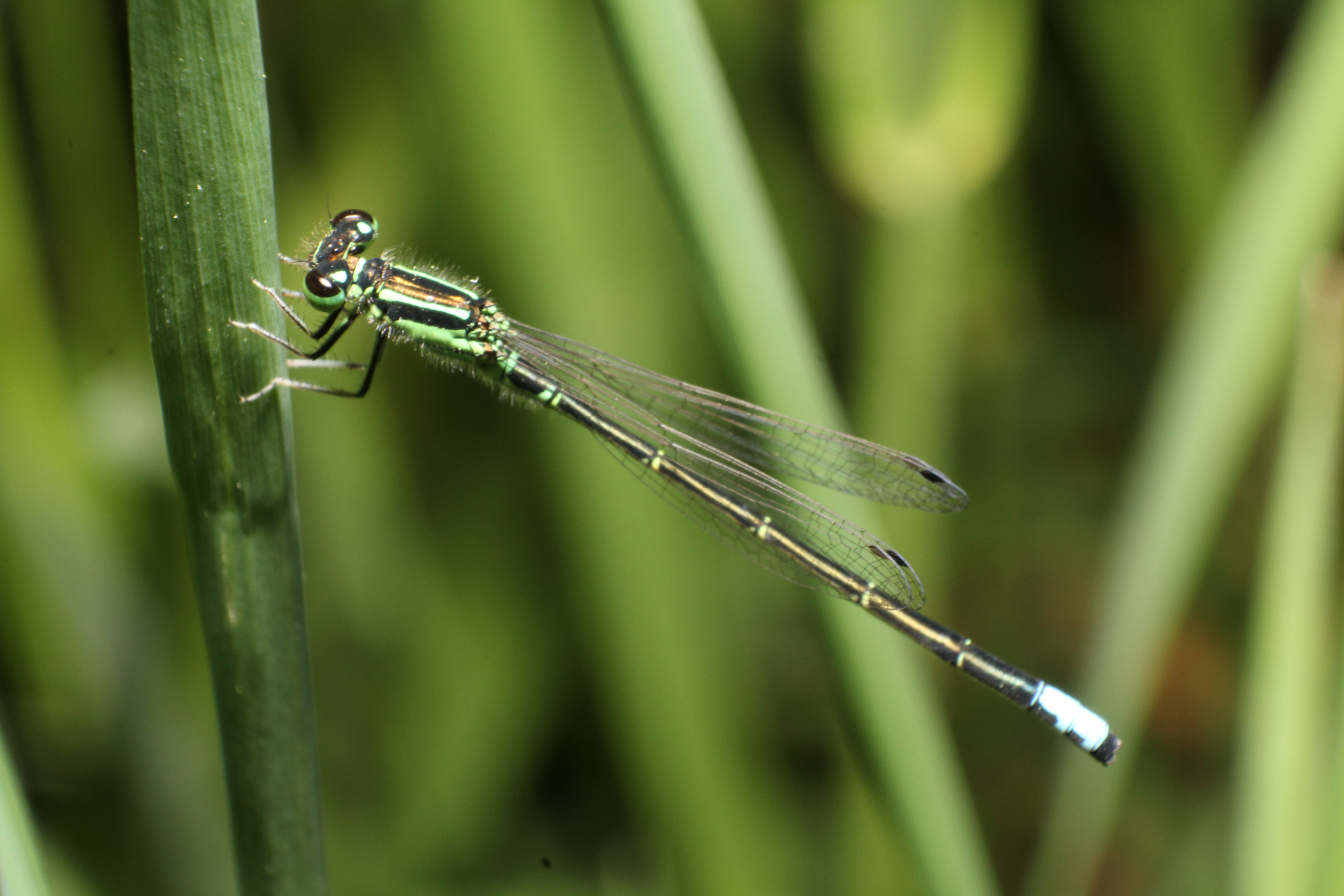 Forktail damselfly photo