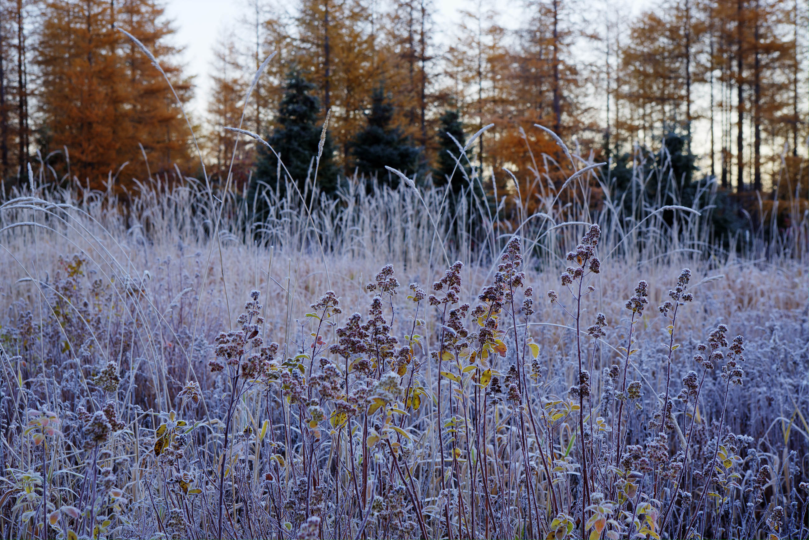 Forst Covered Plants, Atlantic, Larch, Frosty, Frozen, HQ Photo