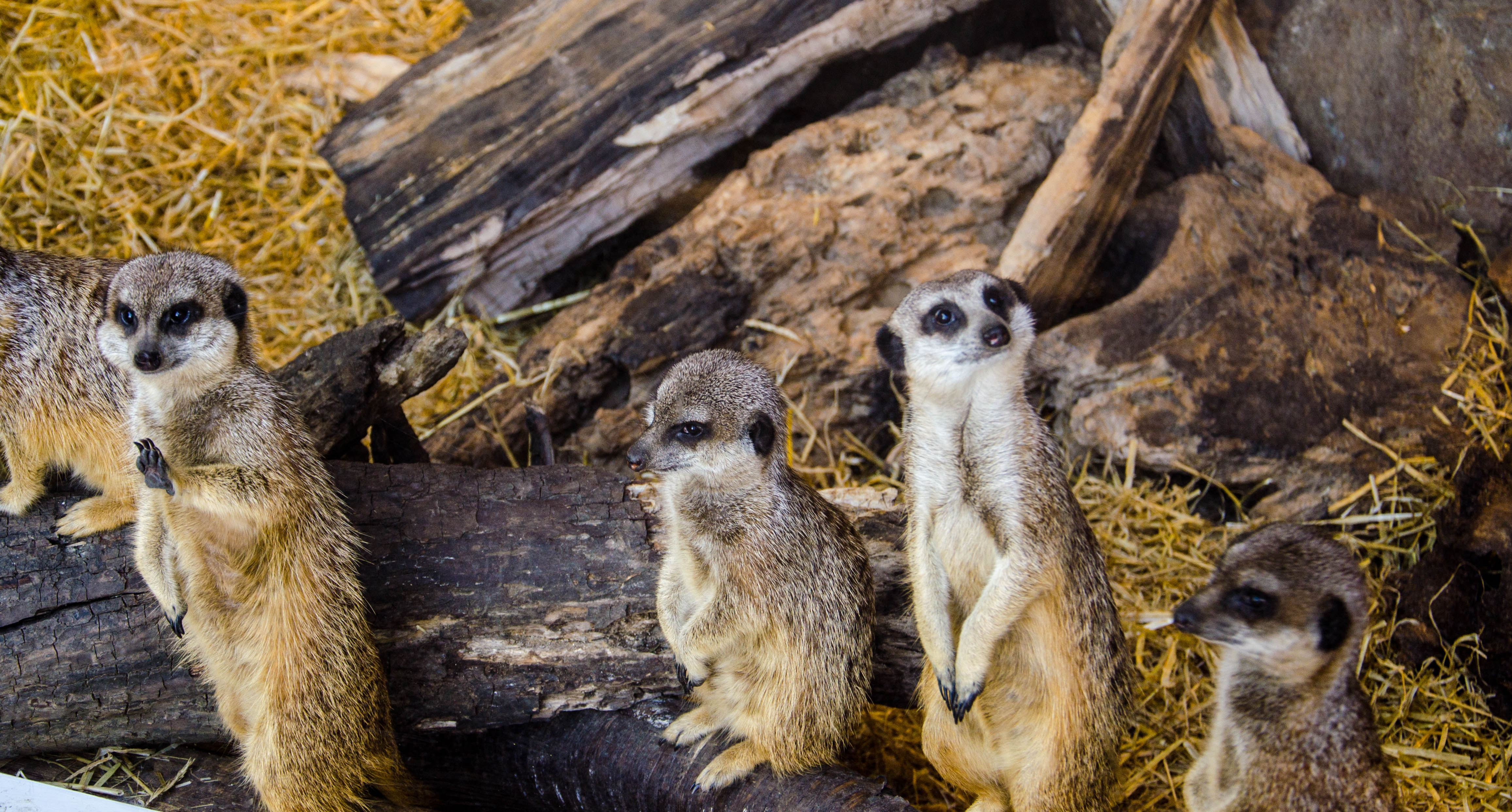 Four Animal on Burnt Tree, Nature, Meerkats, Mammals, Outdoors, HQ Photo