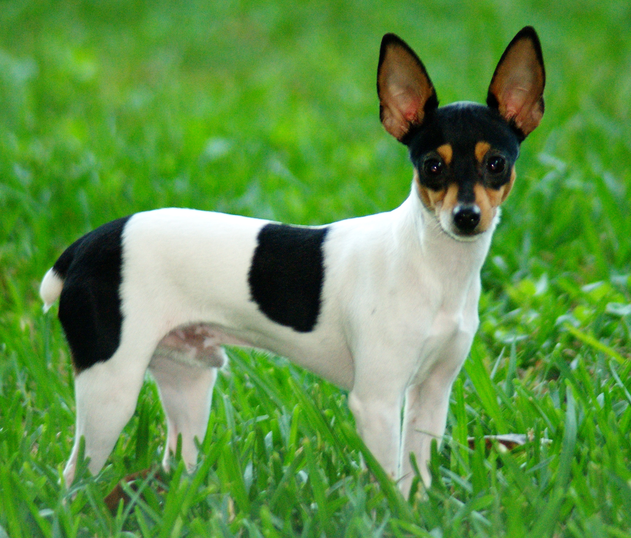 Toy Fox Terrier dog photo and wallpaper. Beautiful Toy Fox Terrier ...