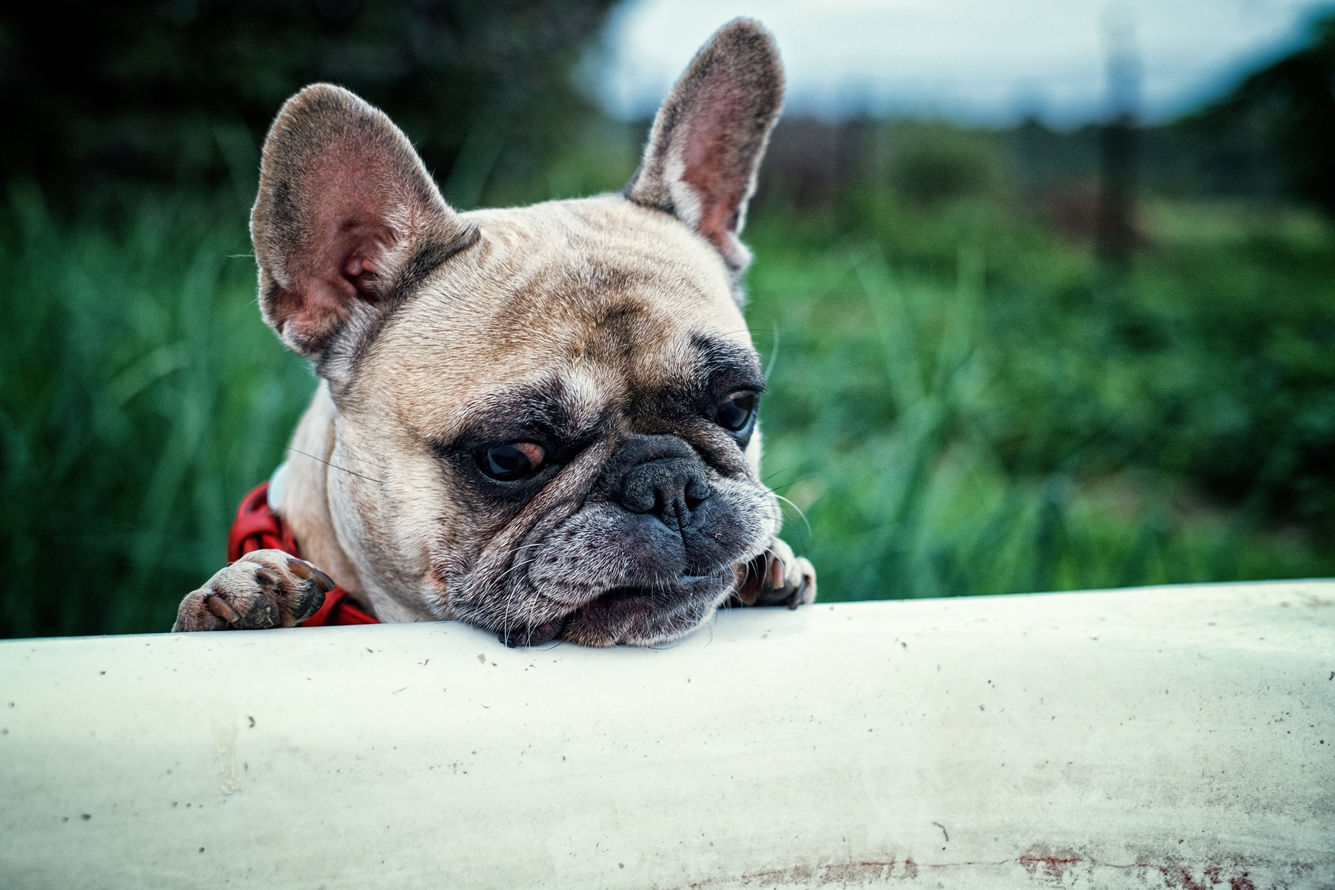 French Bulldog, Animal, Bulldog, Dog, French, HQ Photo