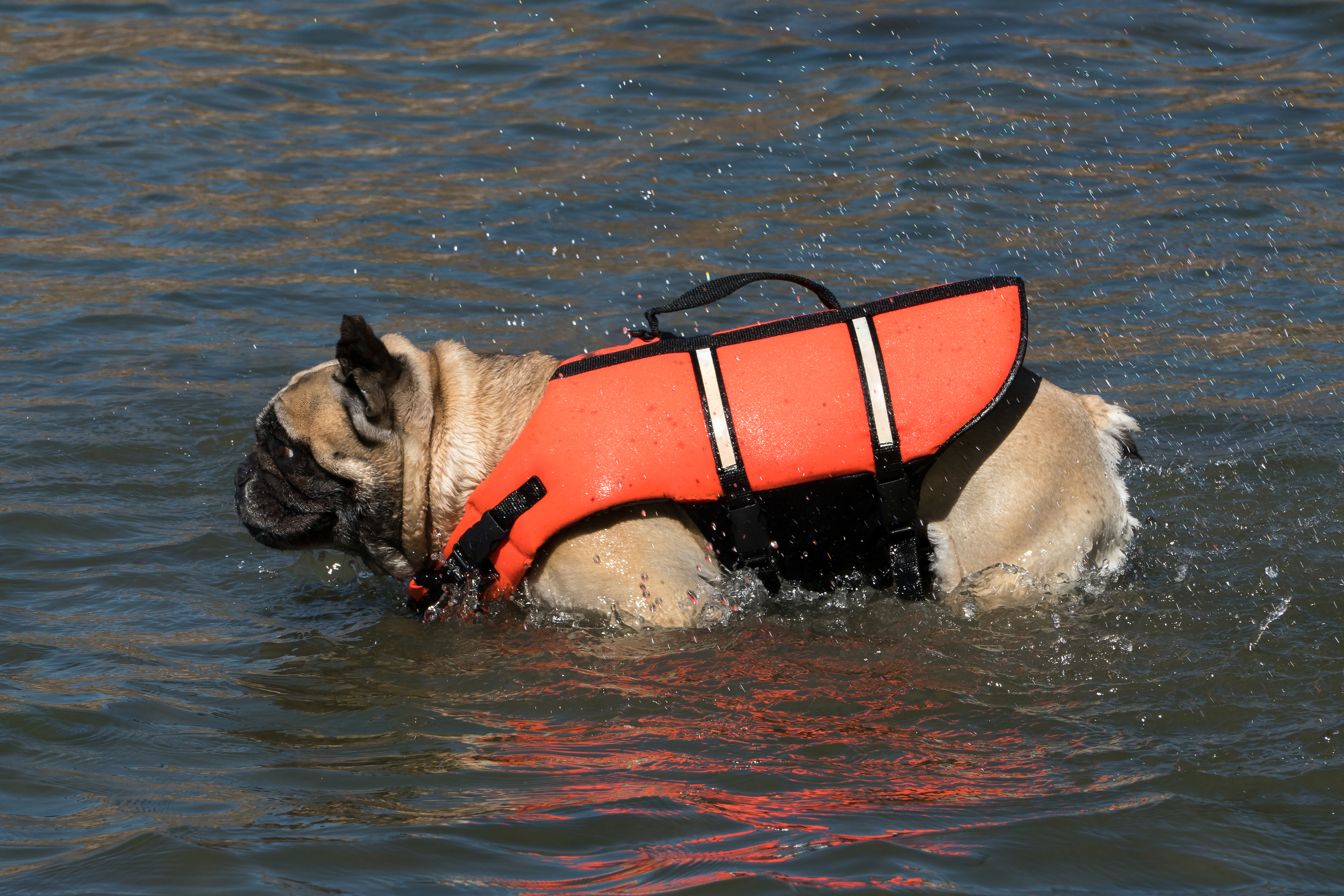 free photo french bulldog in life jacket shaking off water water