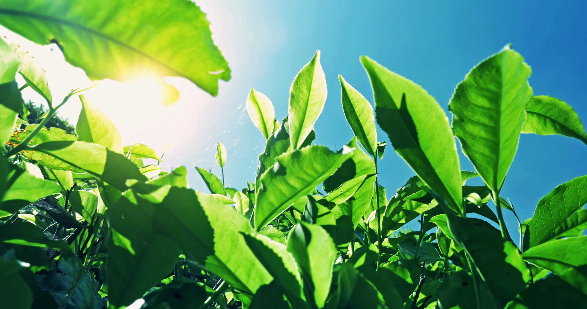 POV video under tea leaves with bright sun light flickering through ...