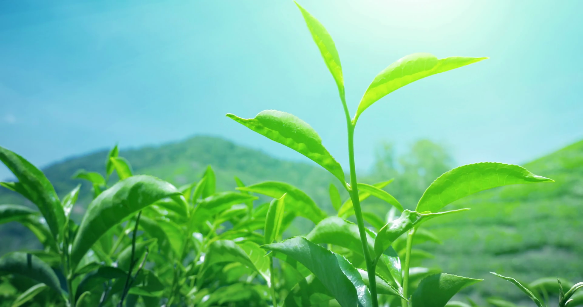 Fresh green tea leaves under bright sun light against blue sky grow ...