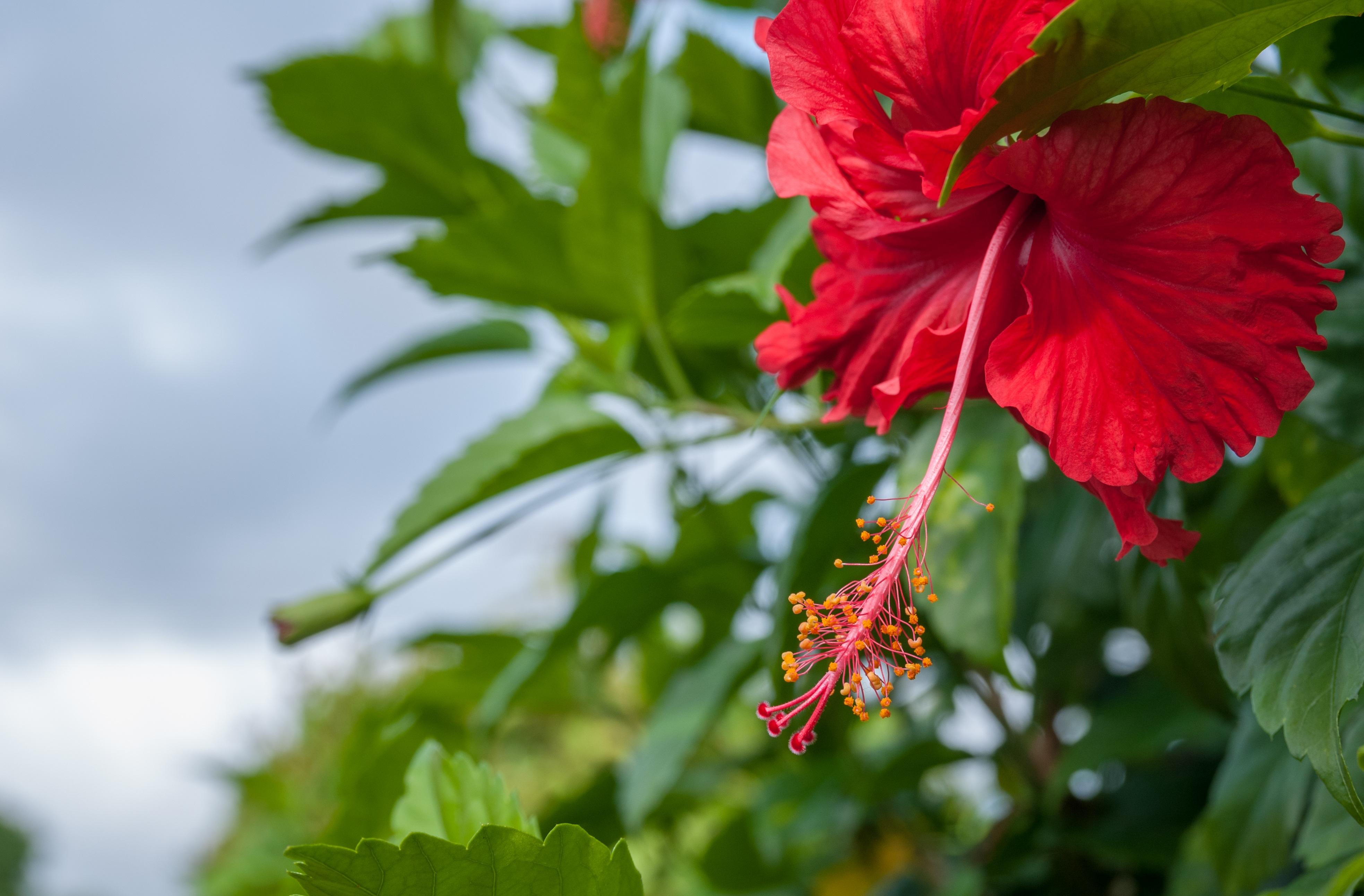 Free Photo Fresh Hibiscus Hibiscus Nature Garden Free