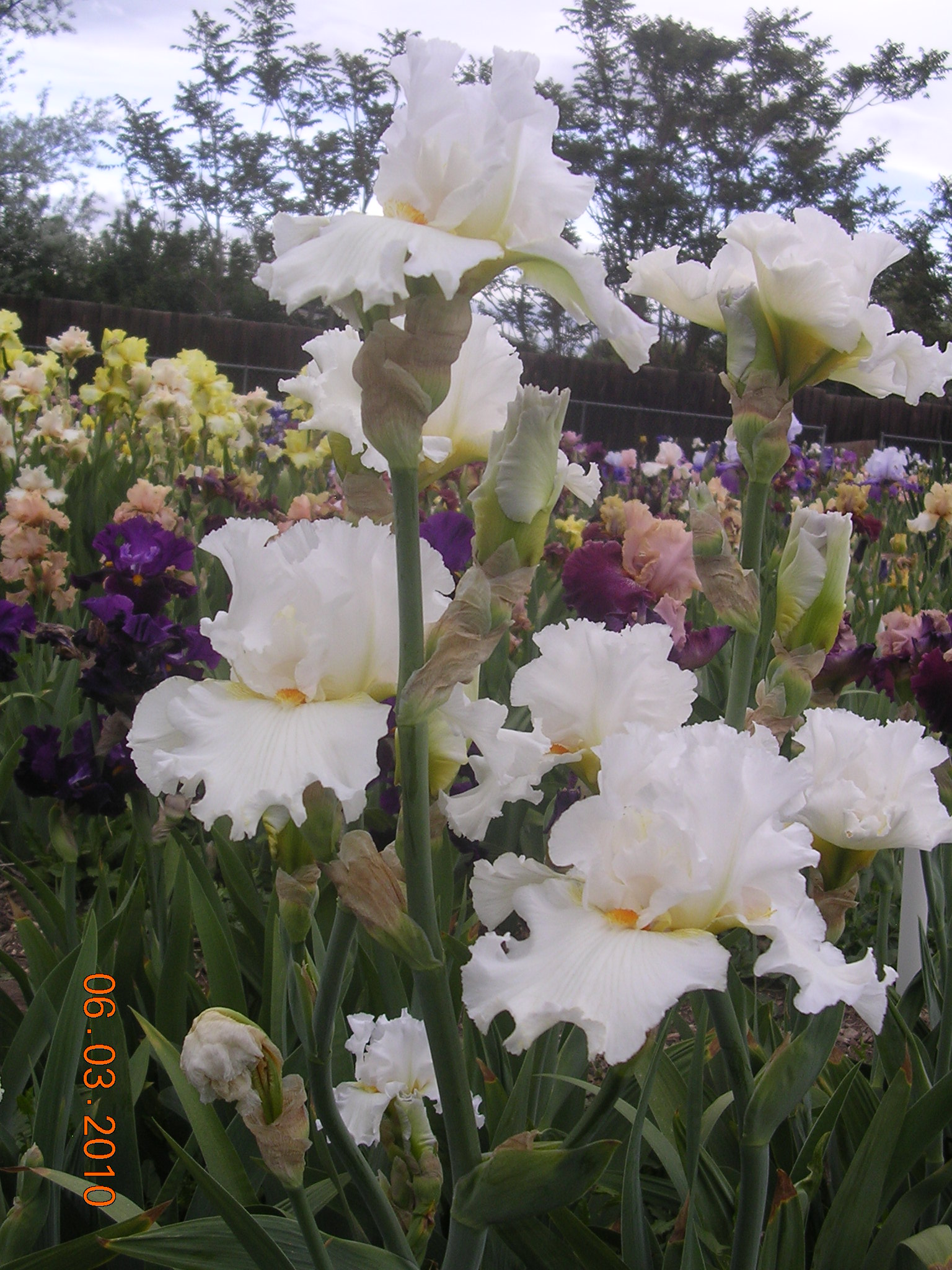 Free Photo Fresh Iris Iris Macro Garden Free Download Jooinn
