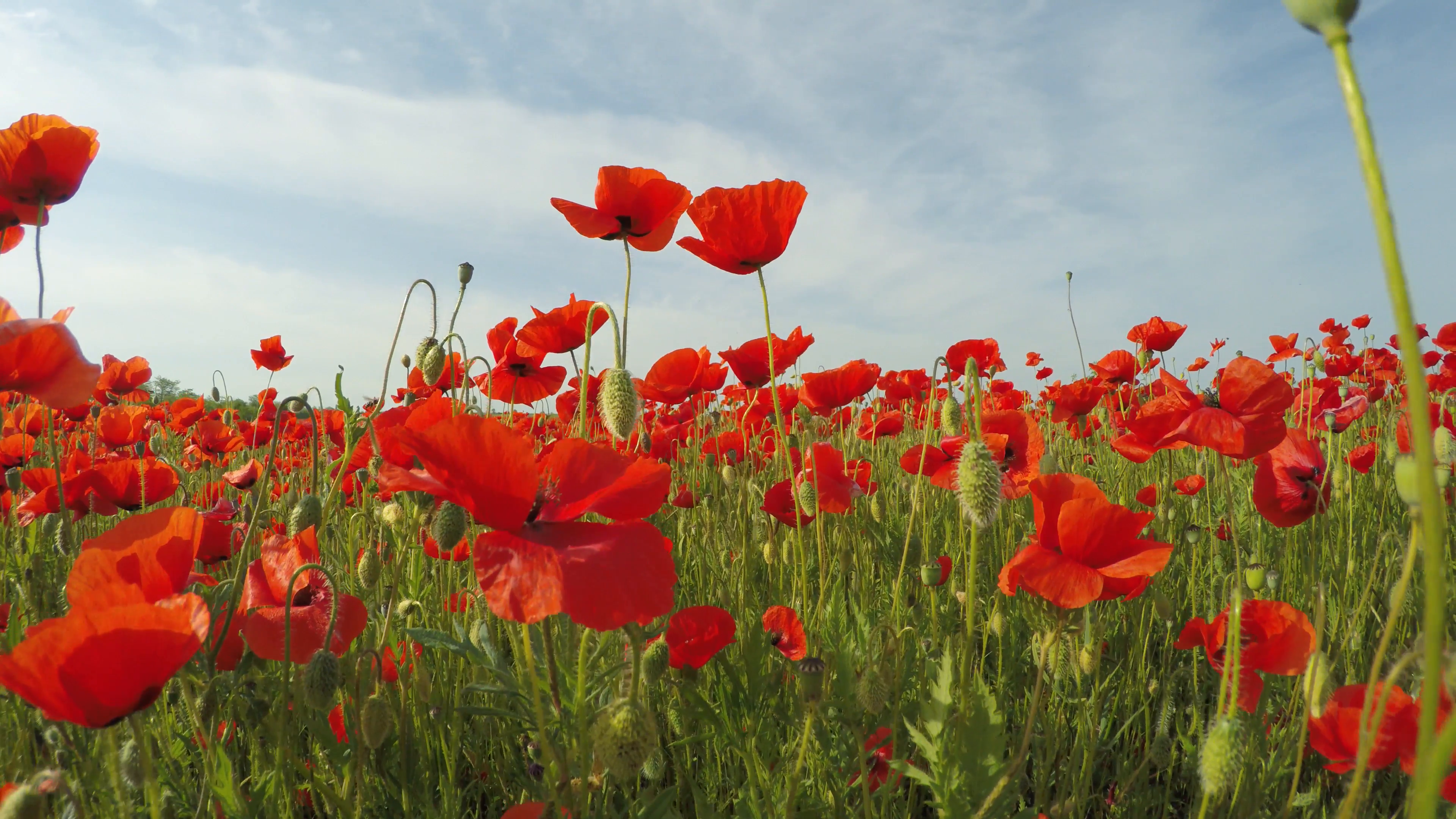 Upward shot from red poppy flowers blooming in green grass over ...