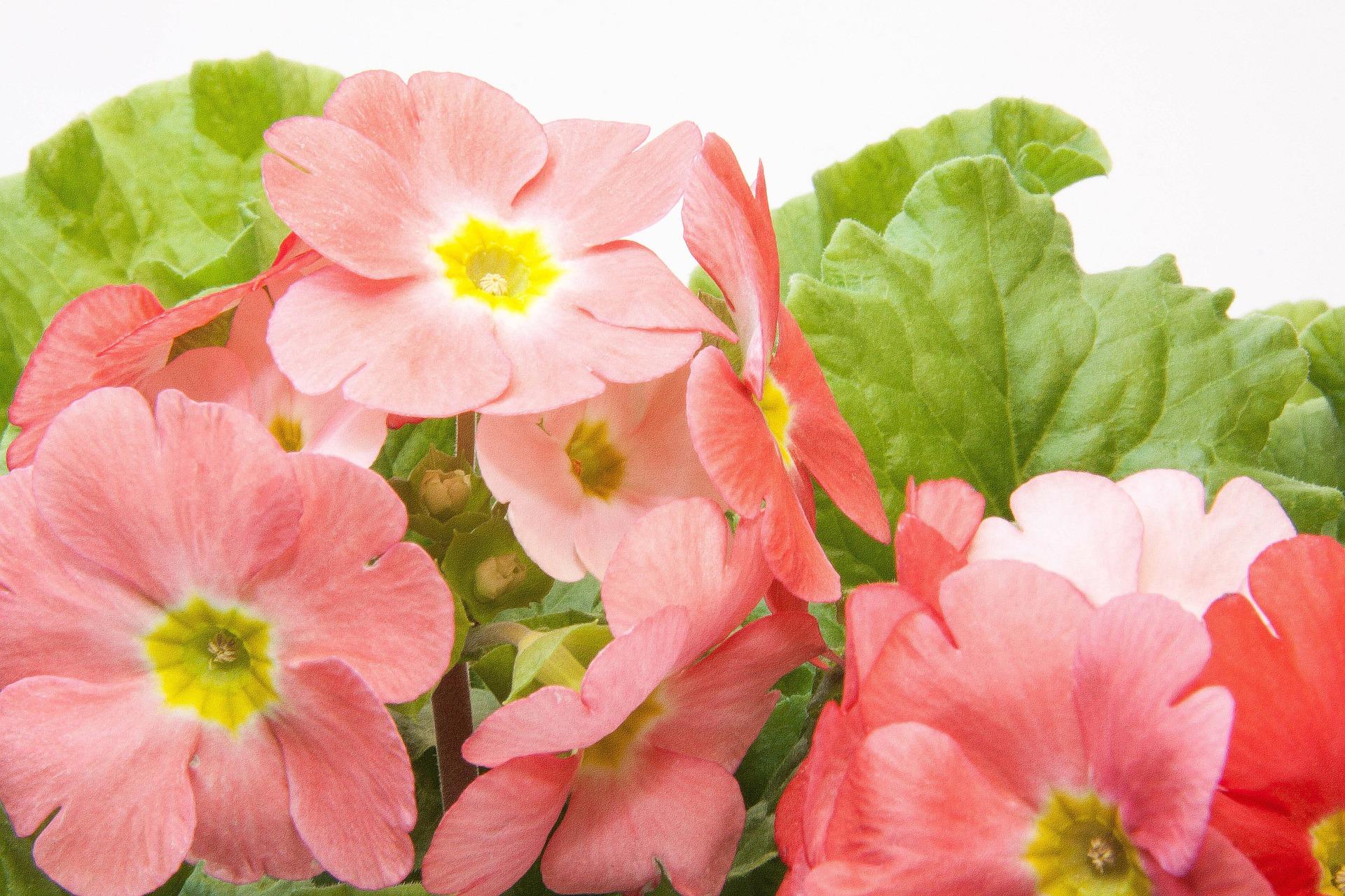 fresh primroses nature prim garden primrose hq photo - Prim Garden