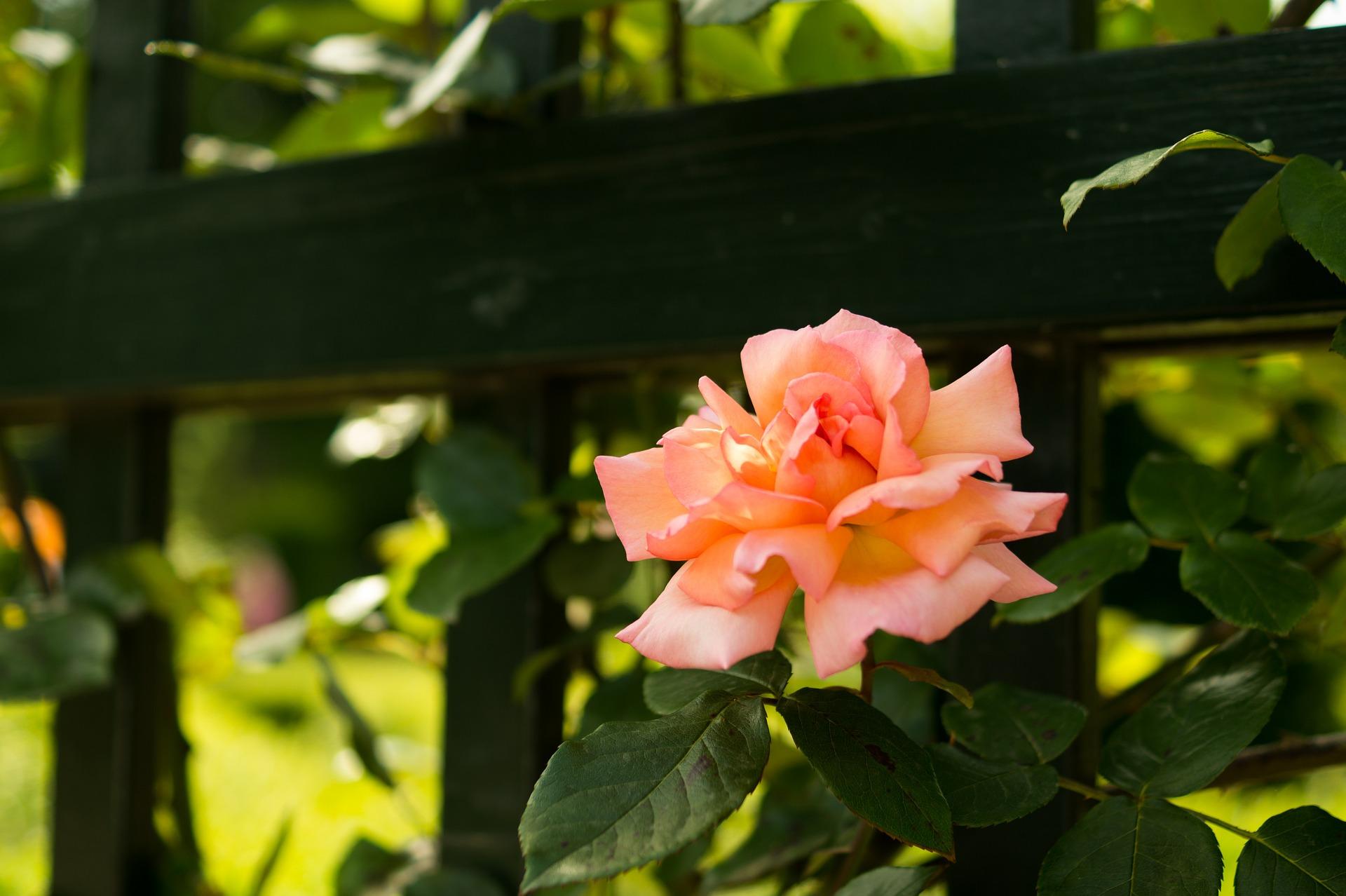 Fresh rose photo