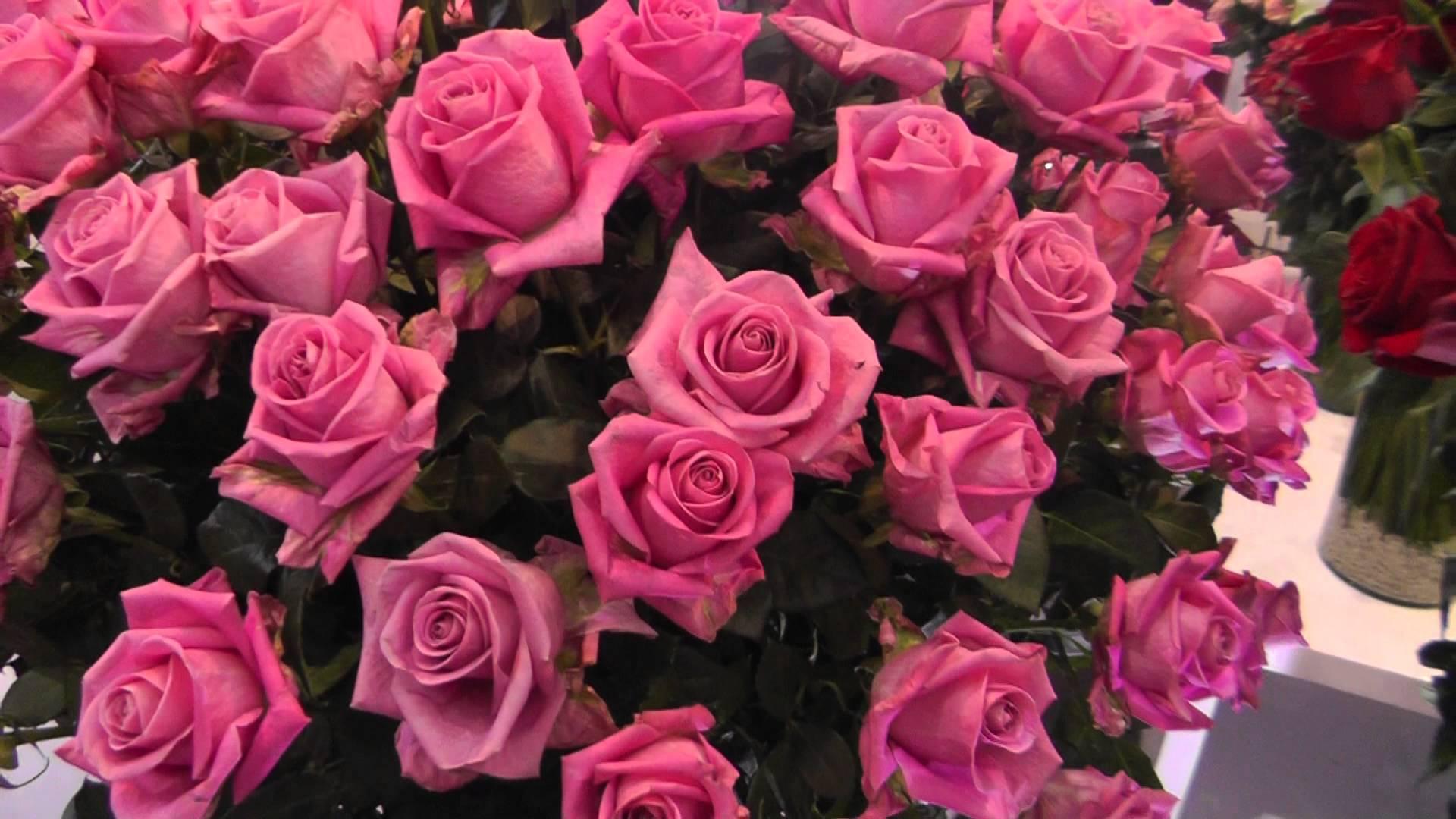 Fresh Rose Variety