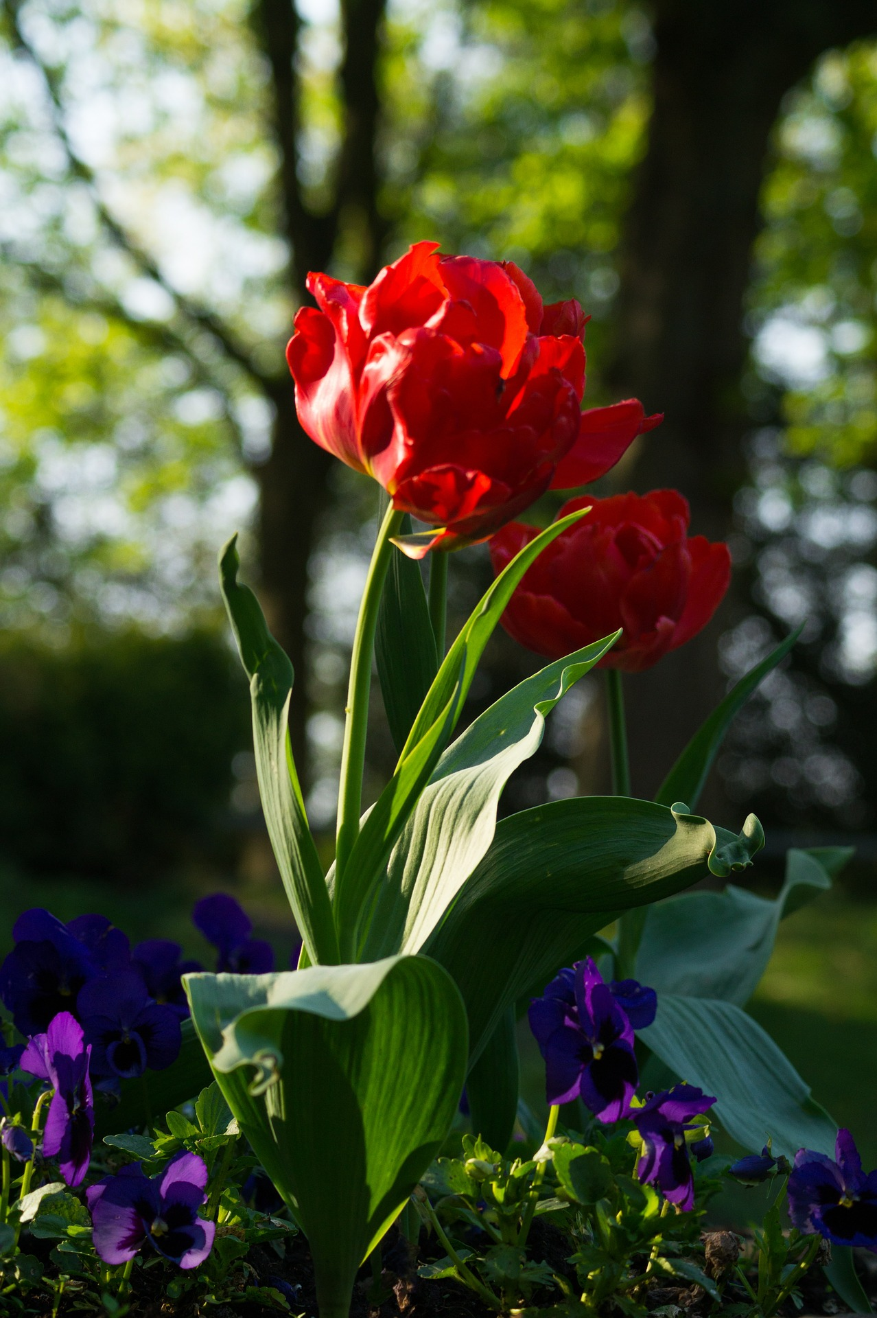 Fresh tulips photo