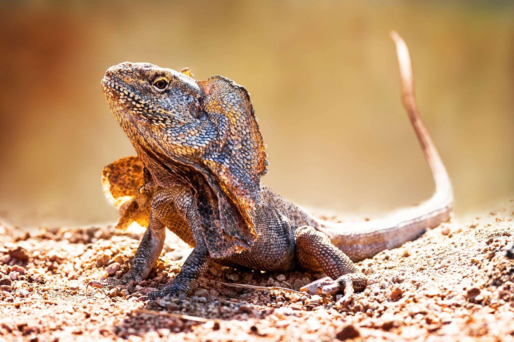 Frilled Neck Lizard Habitat, Diet & Reproduction - NSW