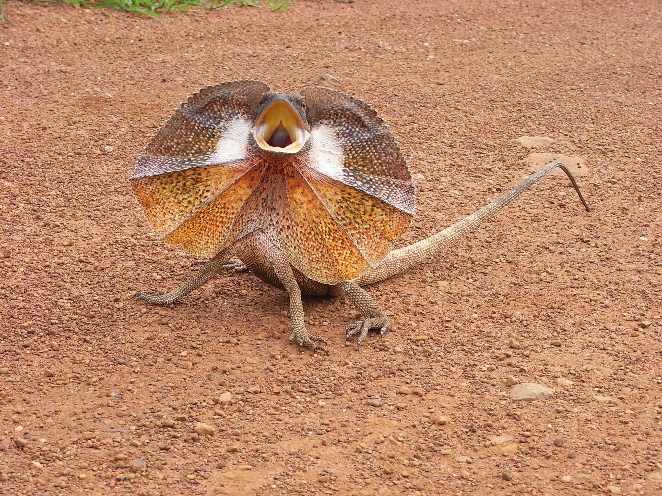 Frill-necked lizard, Australia, Dragon, Dry, Lizard, HQ Photo