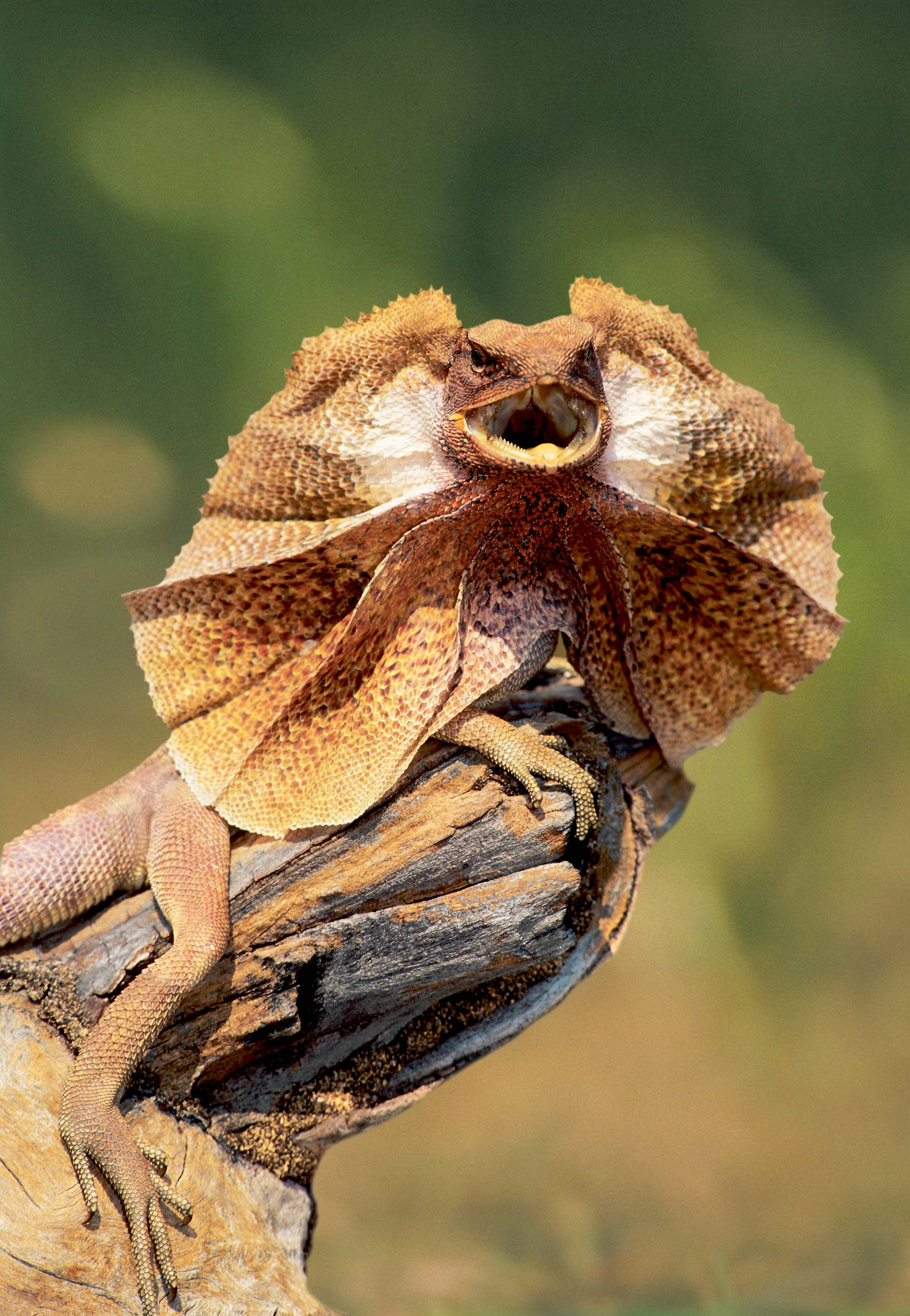 19 facts about frilled-neck lizards you may not have known | Animalogic