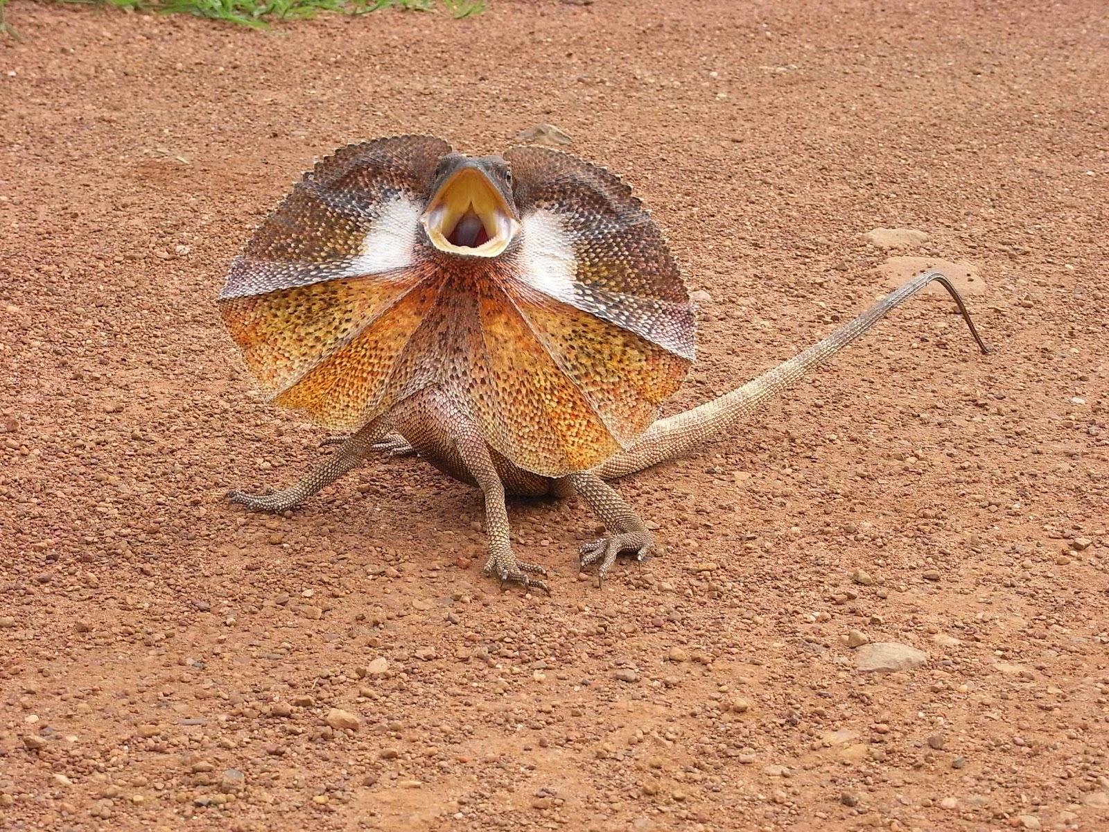 Frill Necked Lizard | Interesting & Funny Pics