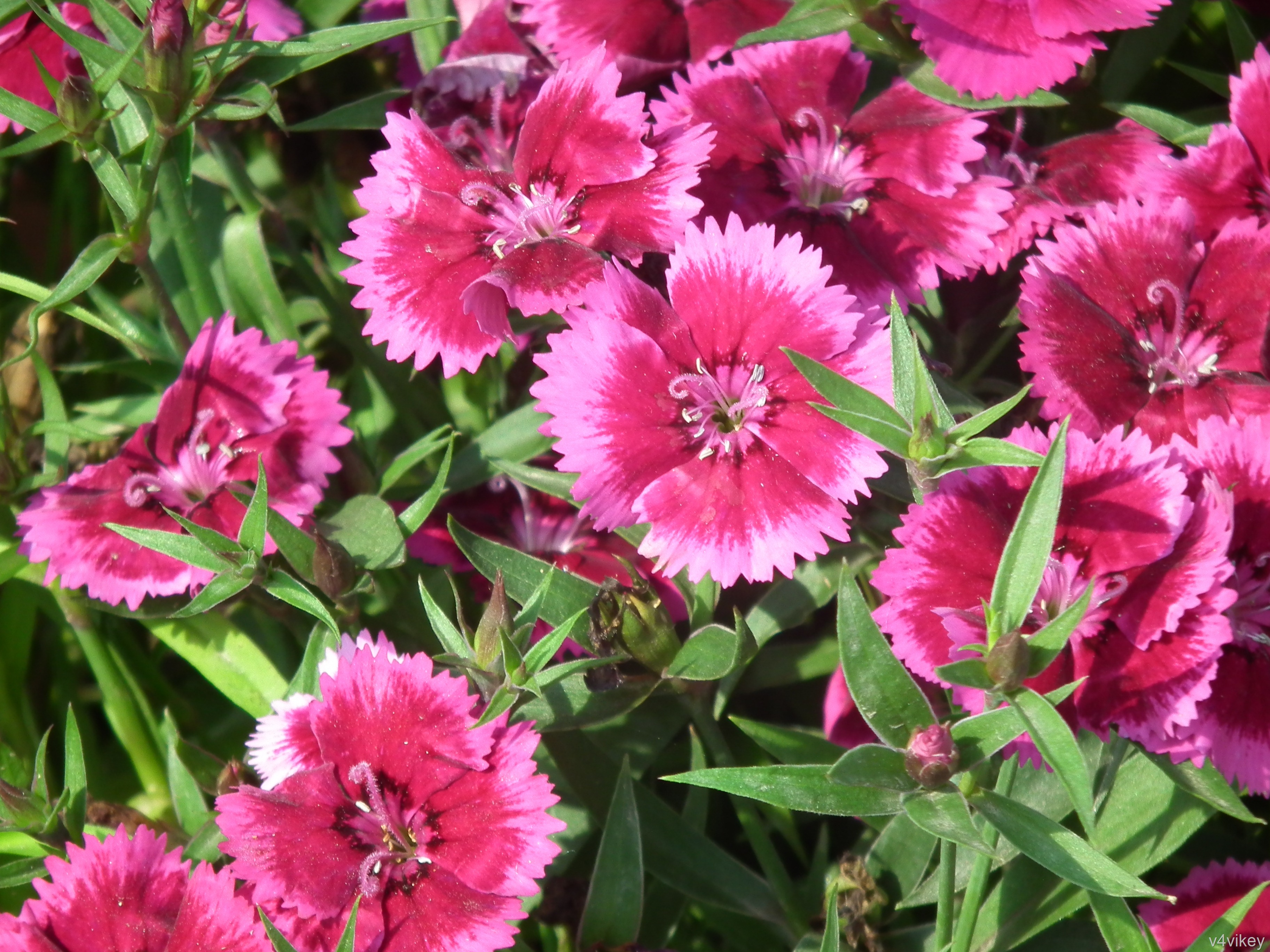 Free photo frilly pink flower pink plant nature free download frilly pink flower mightylinksfo