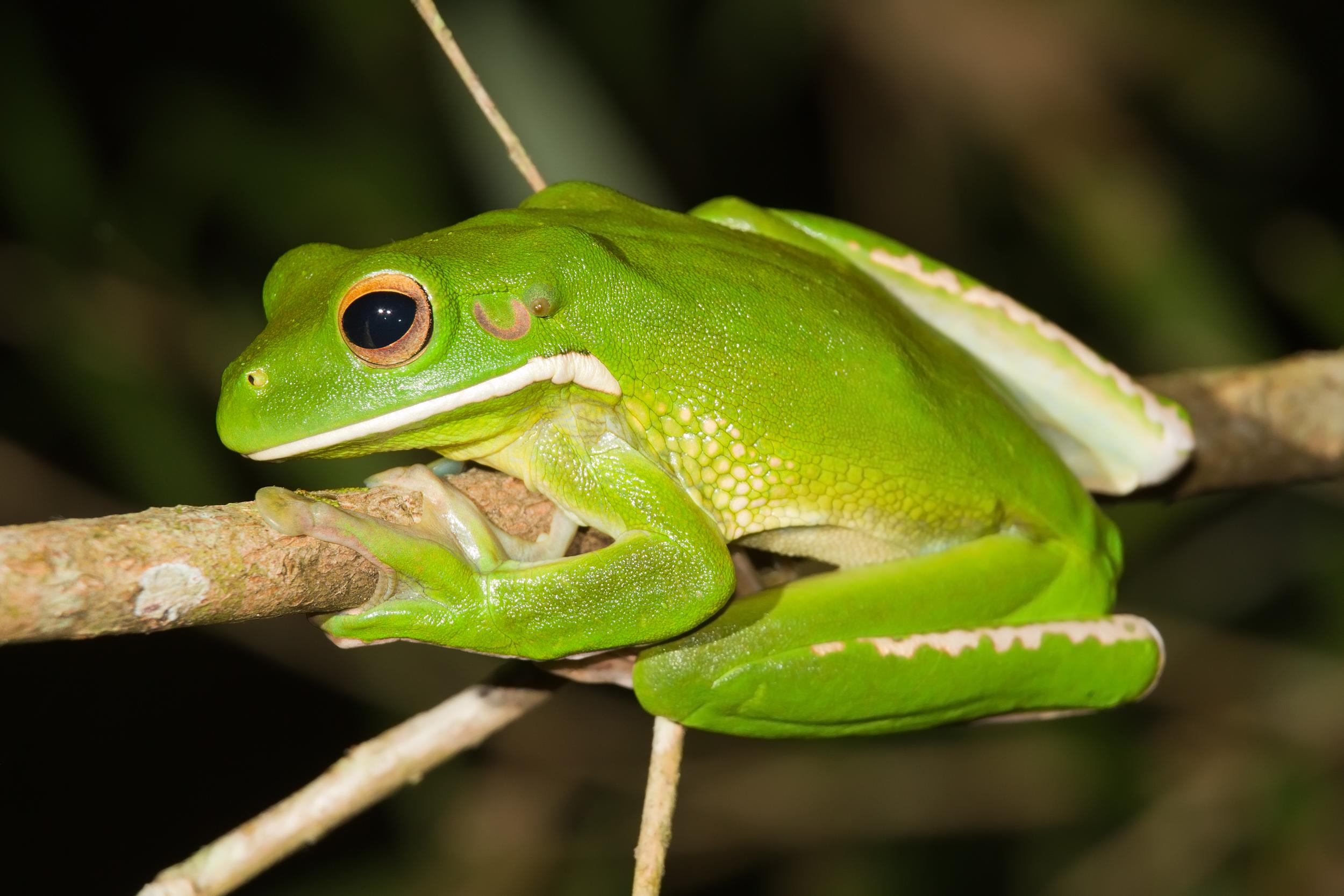 White-lipped tree frog - Wikipedia