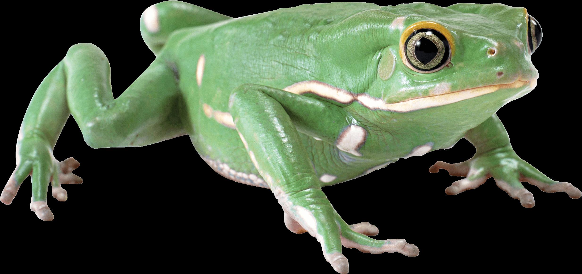 Almost Flat Frog transparent PNG - StickPNG