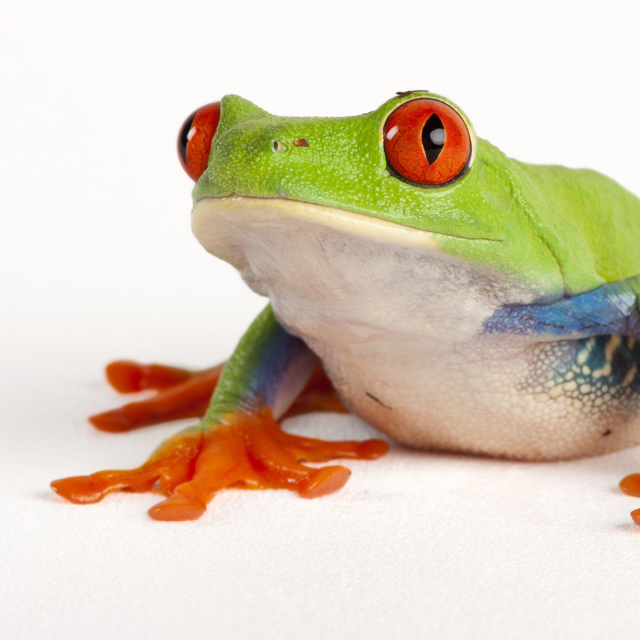 Red-Eyed Tree Frog | National Geographic