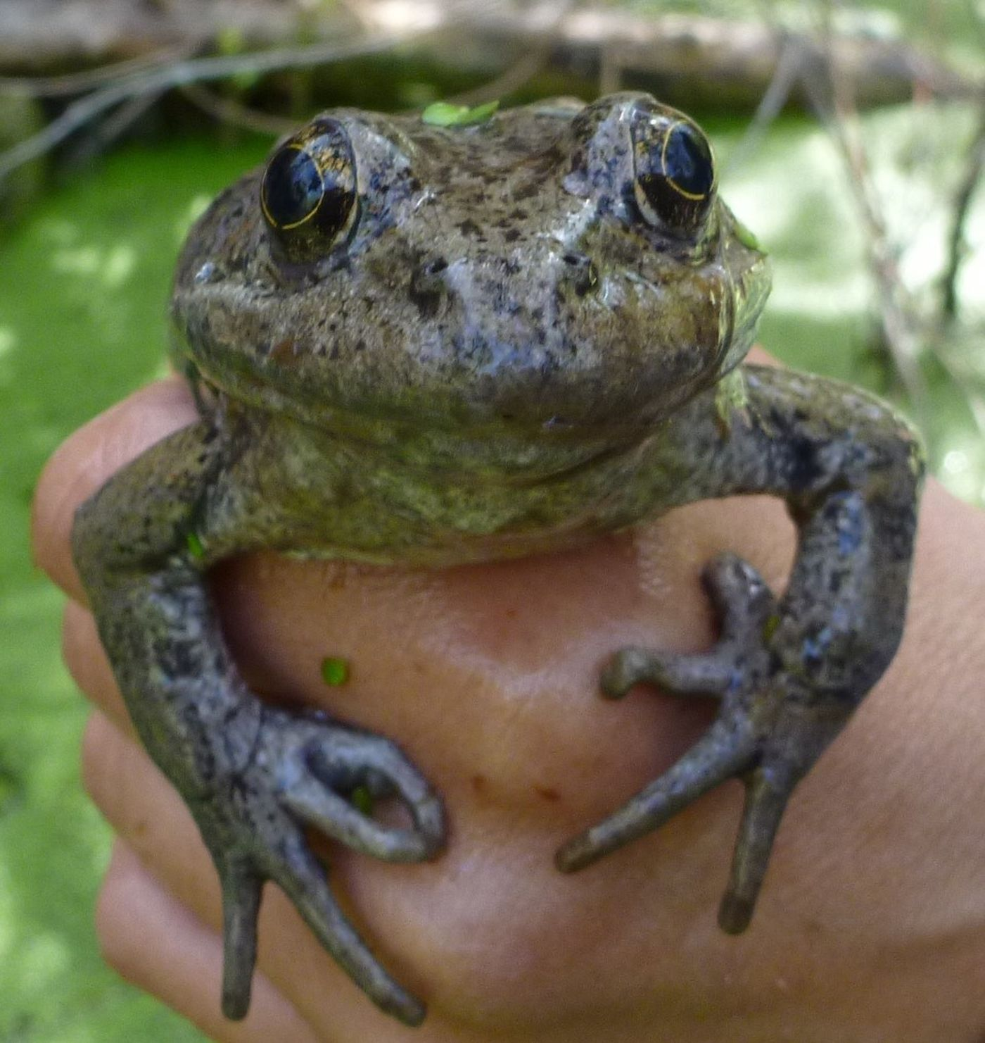 For the first time in almost 100 years, a rare frog population is ...