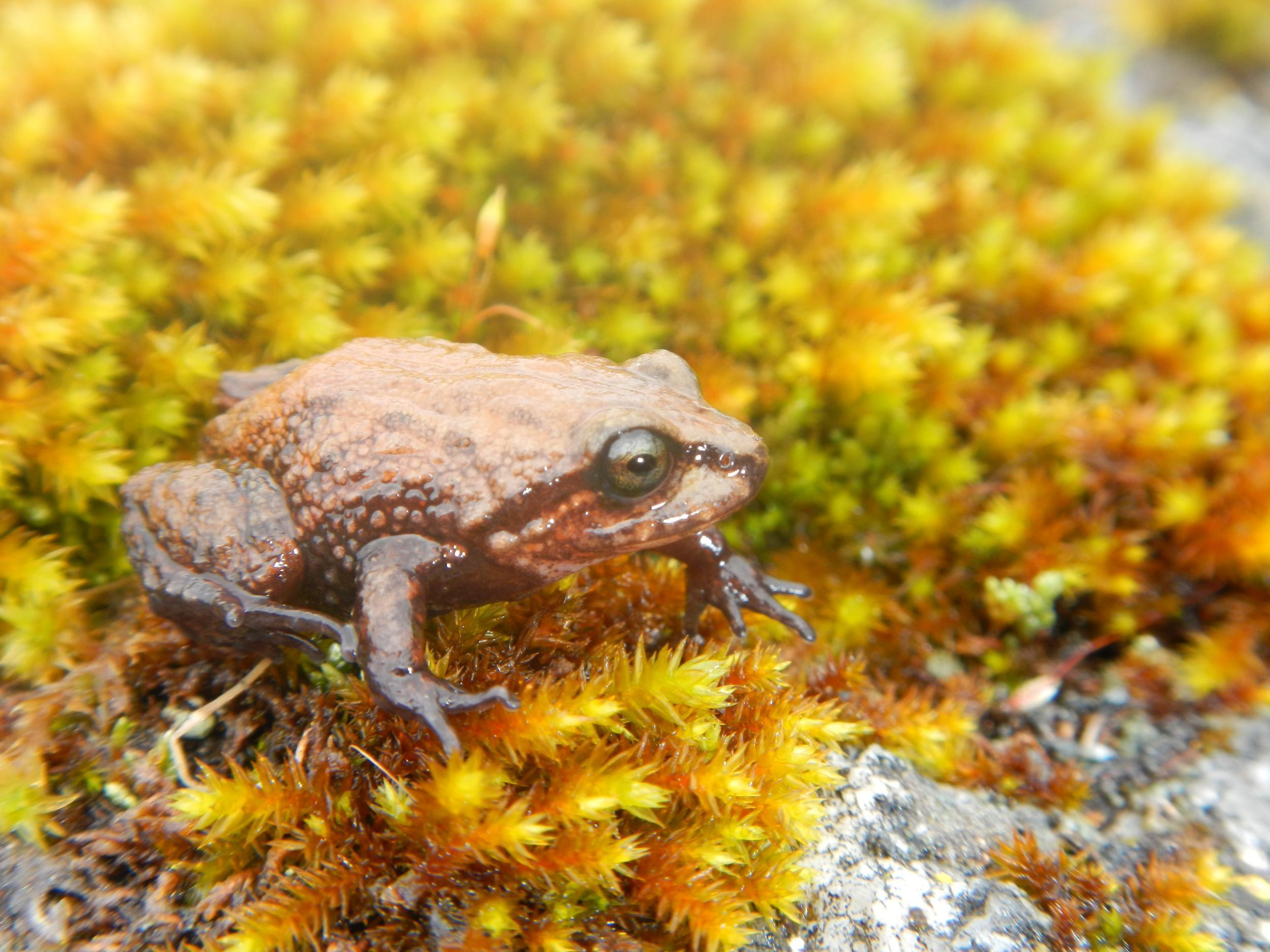 David Attenborough's frog: New Andean species first amphibian named ...