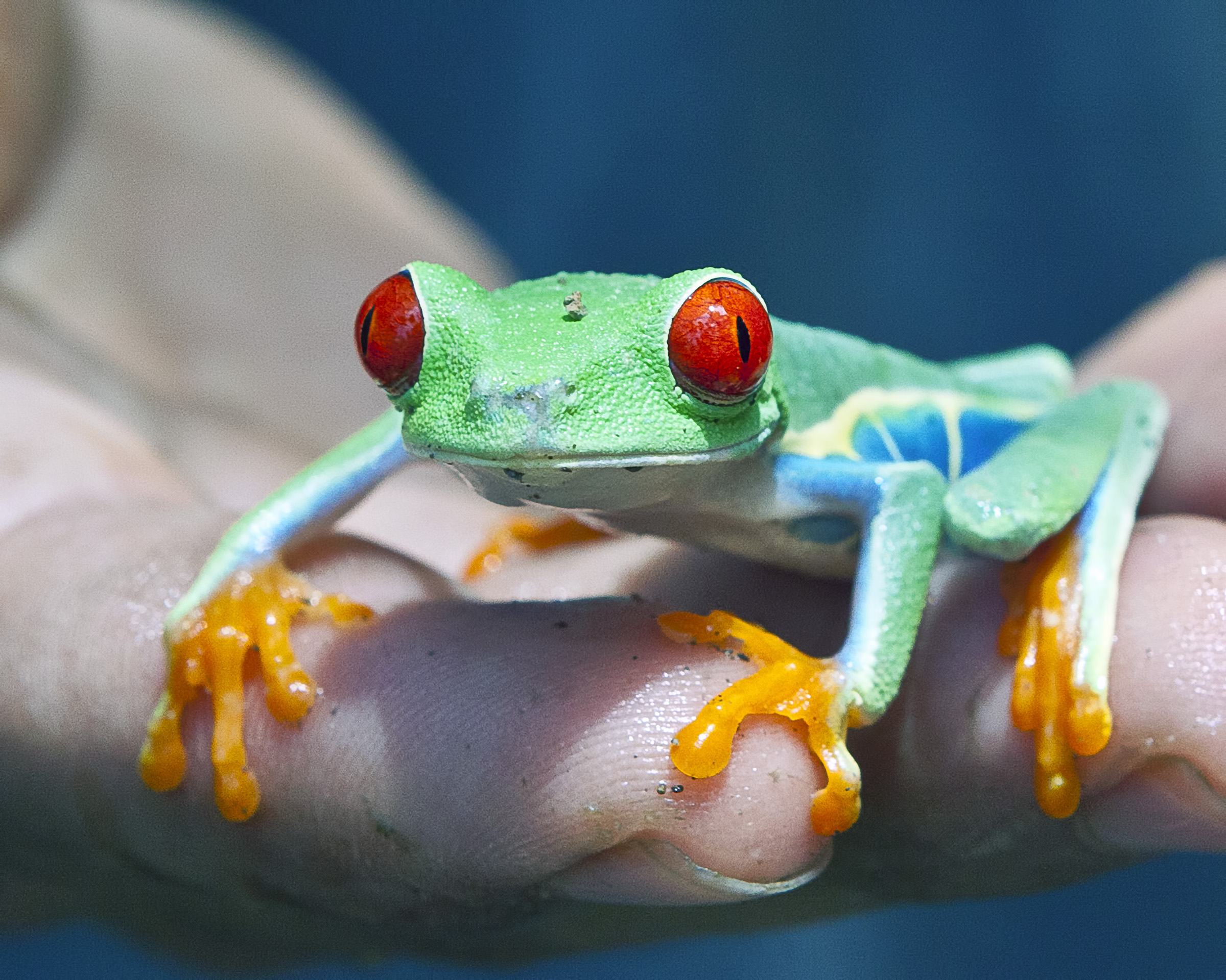 Frog, Amphibian, Rica, Lovely, Natural, HQ Photo