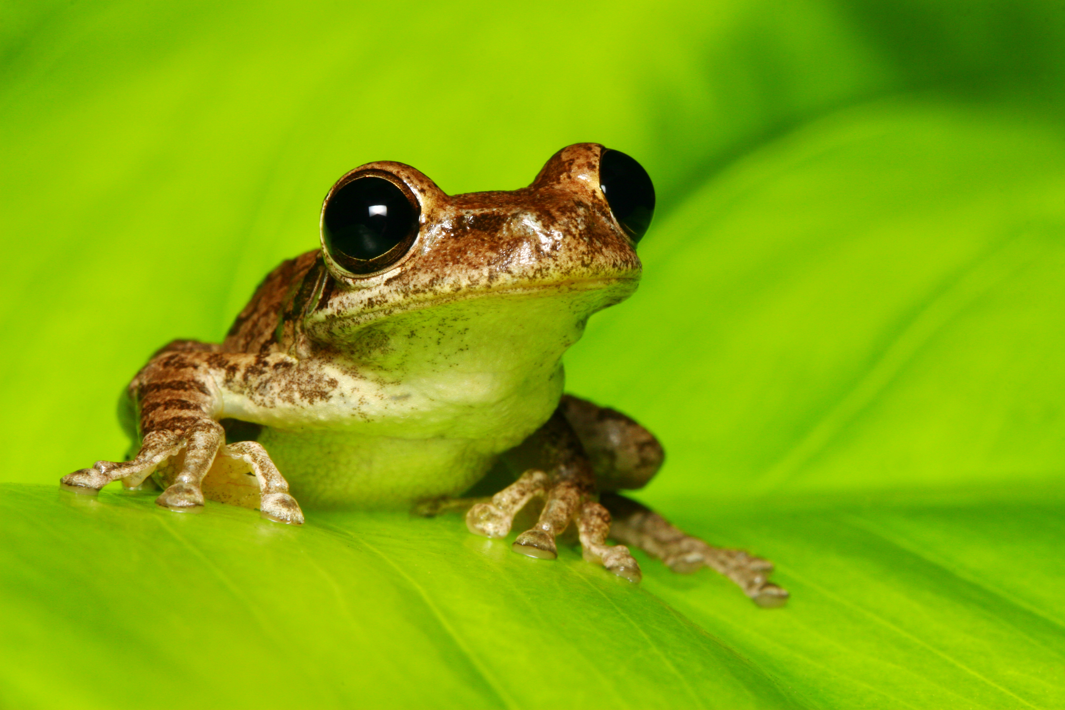 In Frogs, Early Activity of Gut Microbiome Shapes Later Health ...