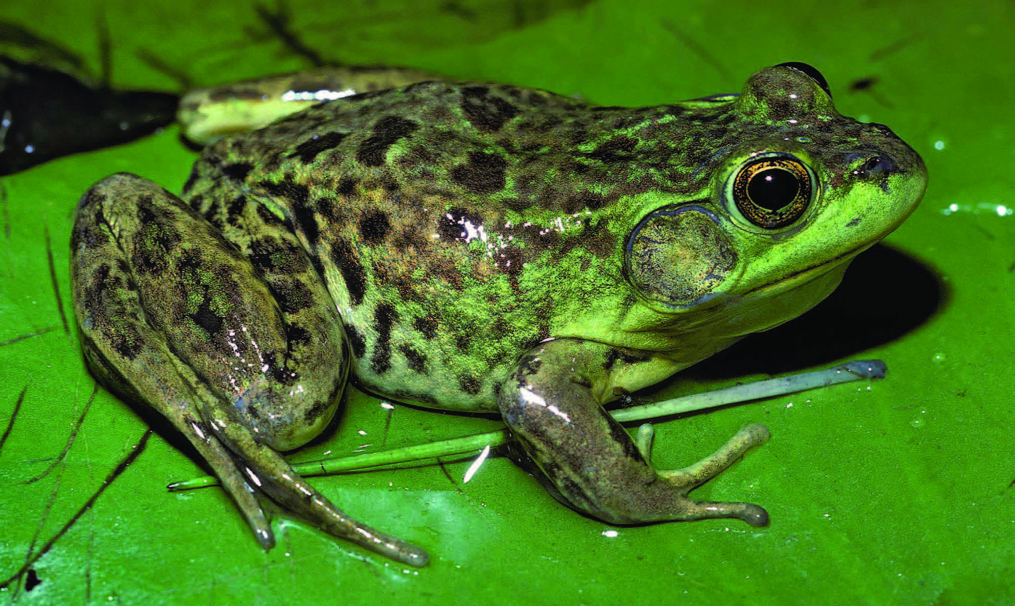 The Frogs and Toads of North America - Adirondack Explorer ...
