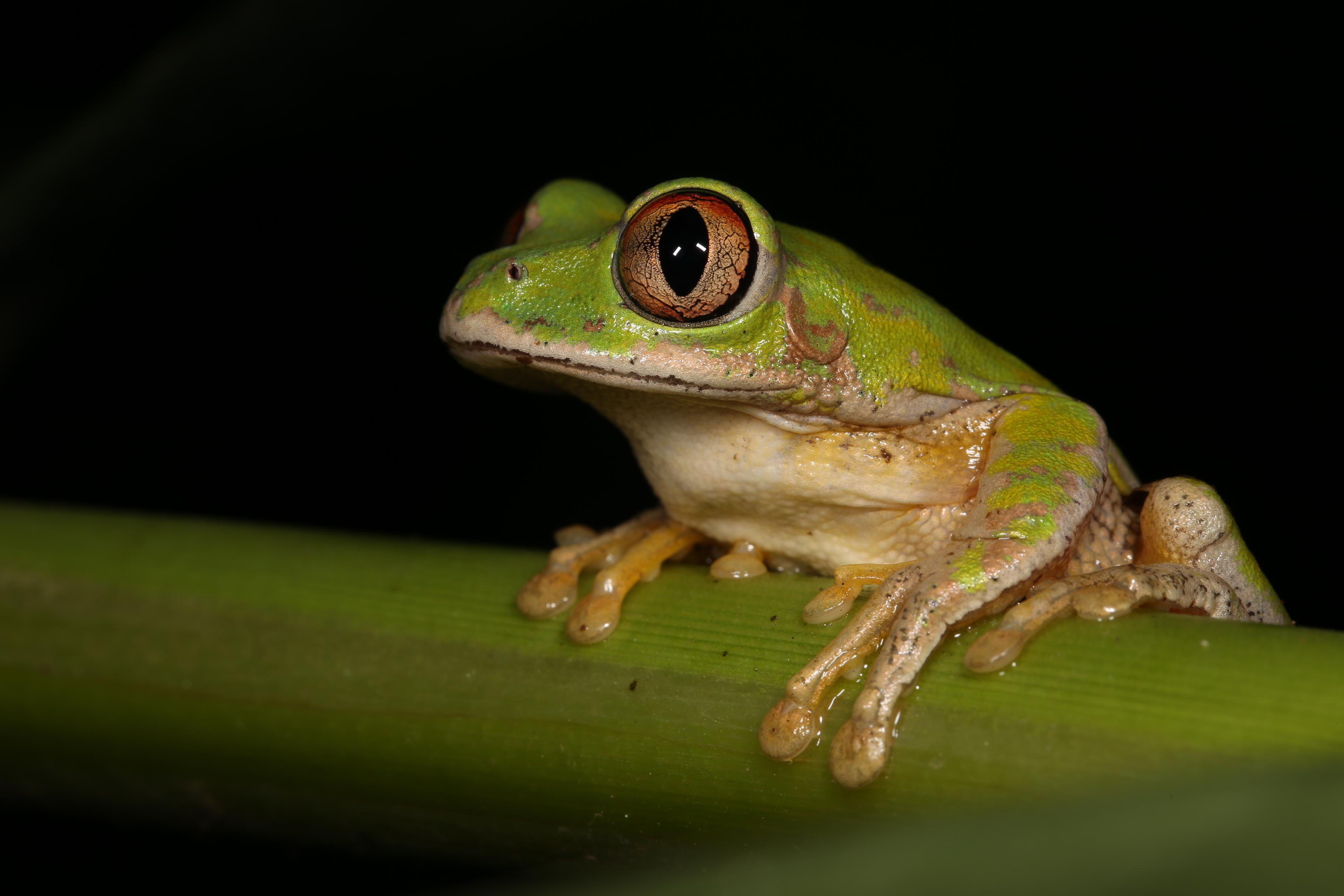 Frogs of Durban- a photographic guide – KwaZulu-Natal Amphibian ...