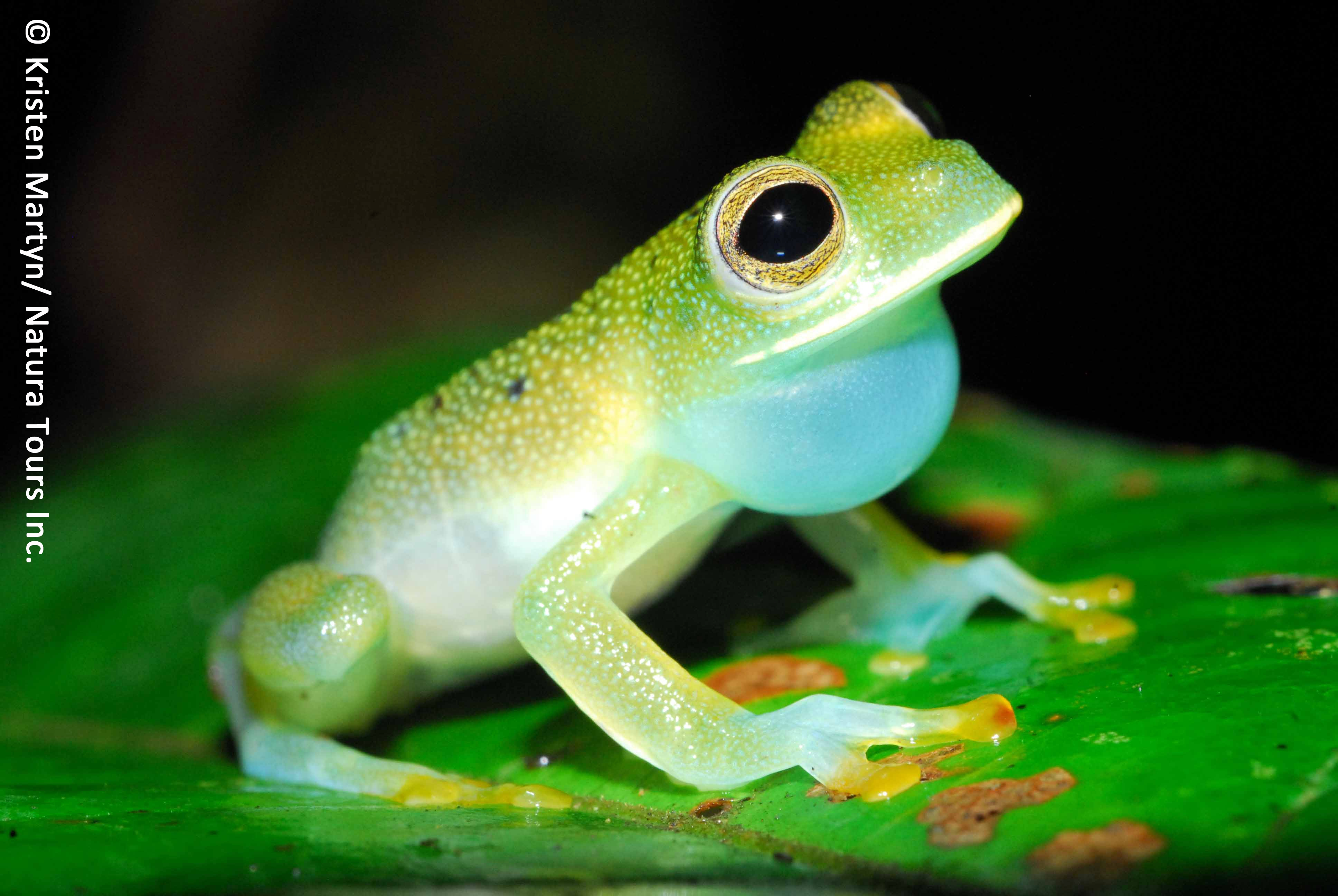 Granular glass frog (Cochranella granulosa) | Amphibian Rescue and ...