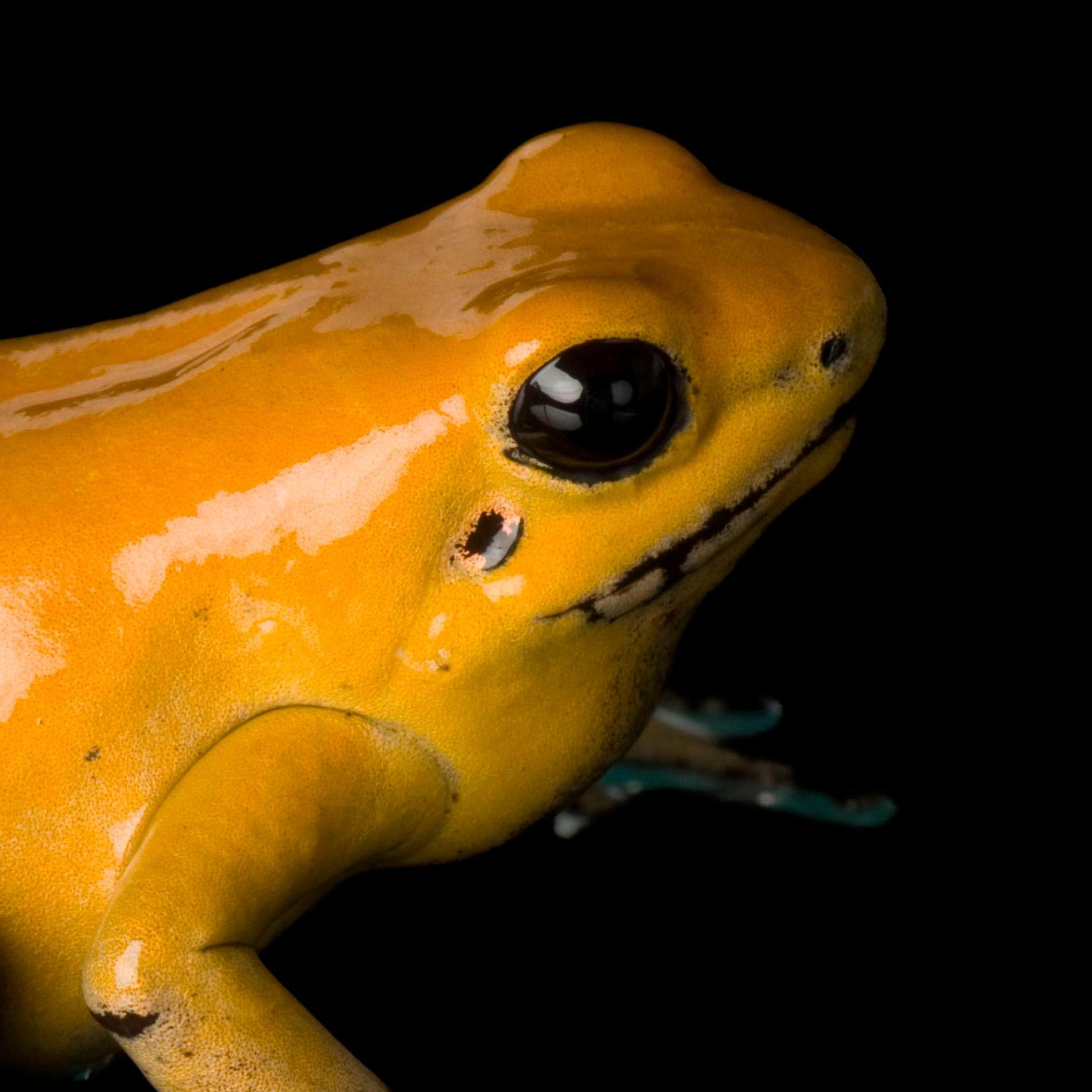 Golden Poison Frog | National Geographic