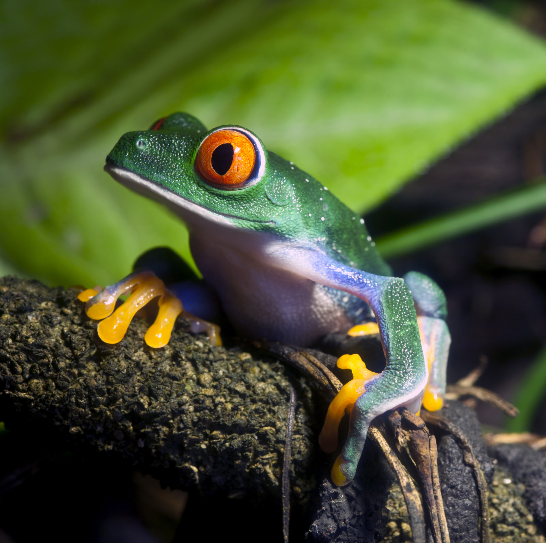 Are frogs on the brink of extinction? | HowStuffWorks
