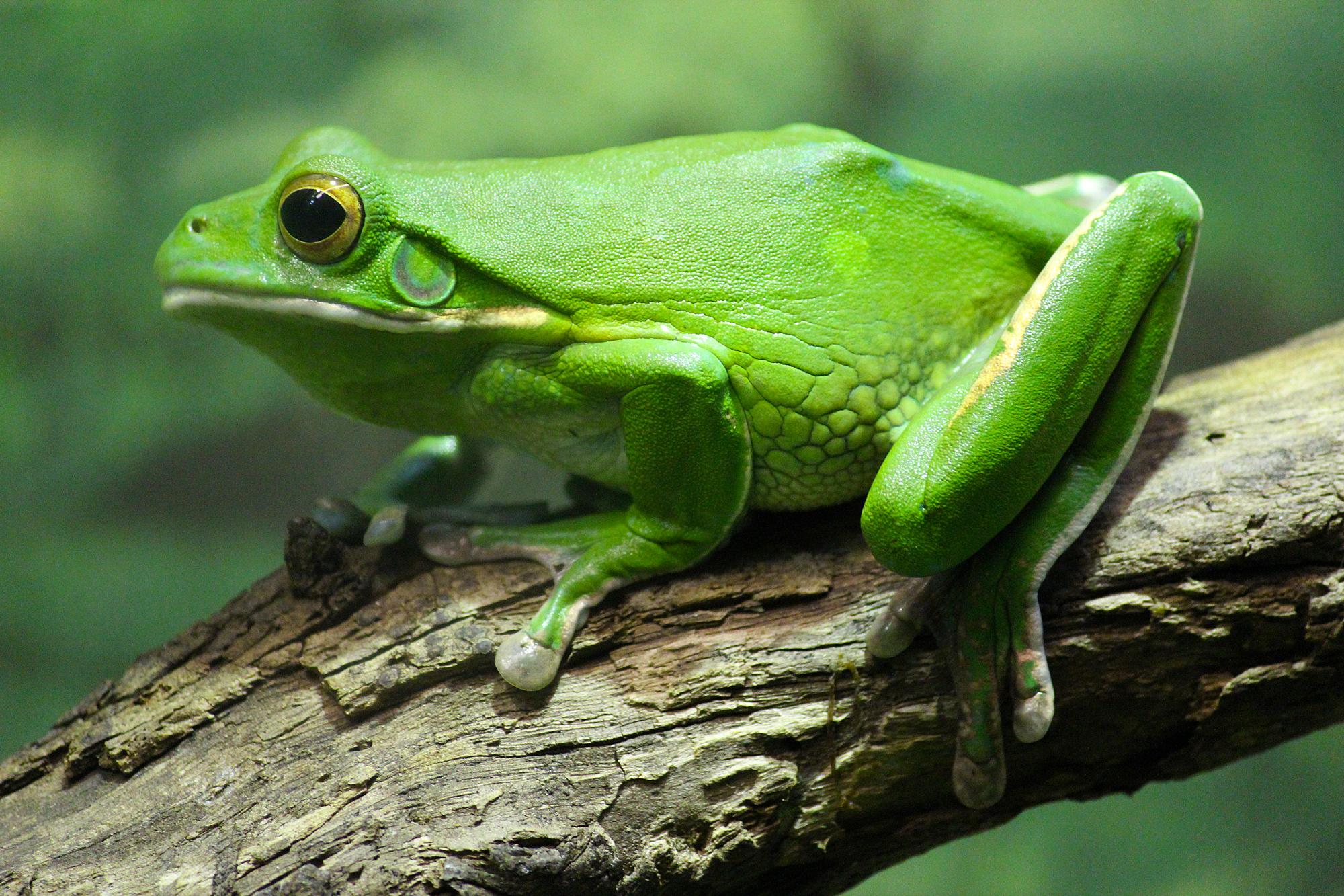 Frog - The Animal Kingdom