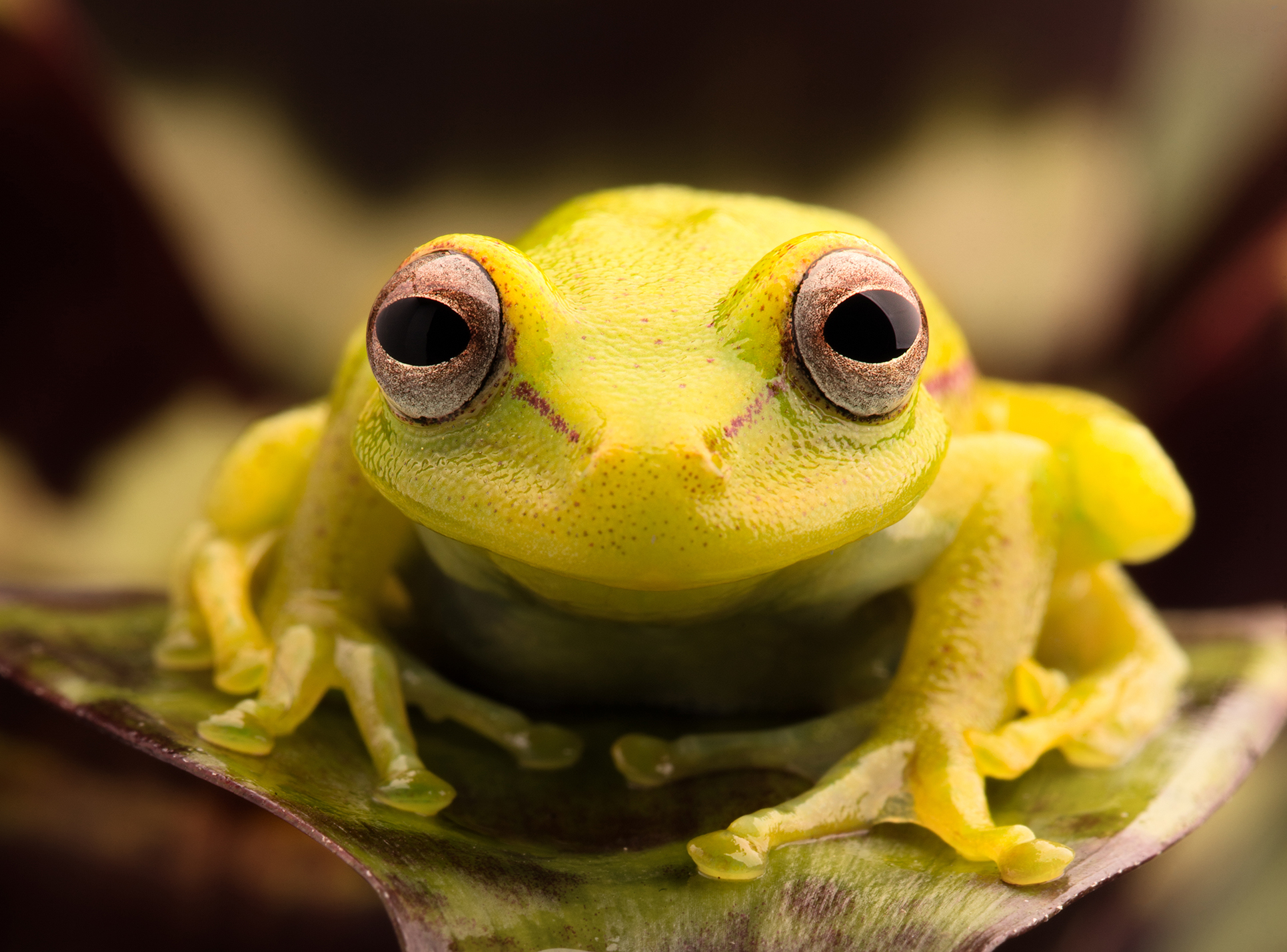 This polka dot tree frog has a cool party trick to show you | MNN ...