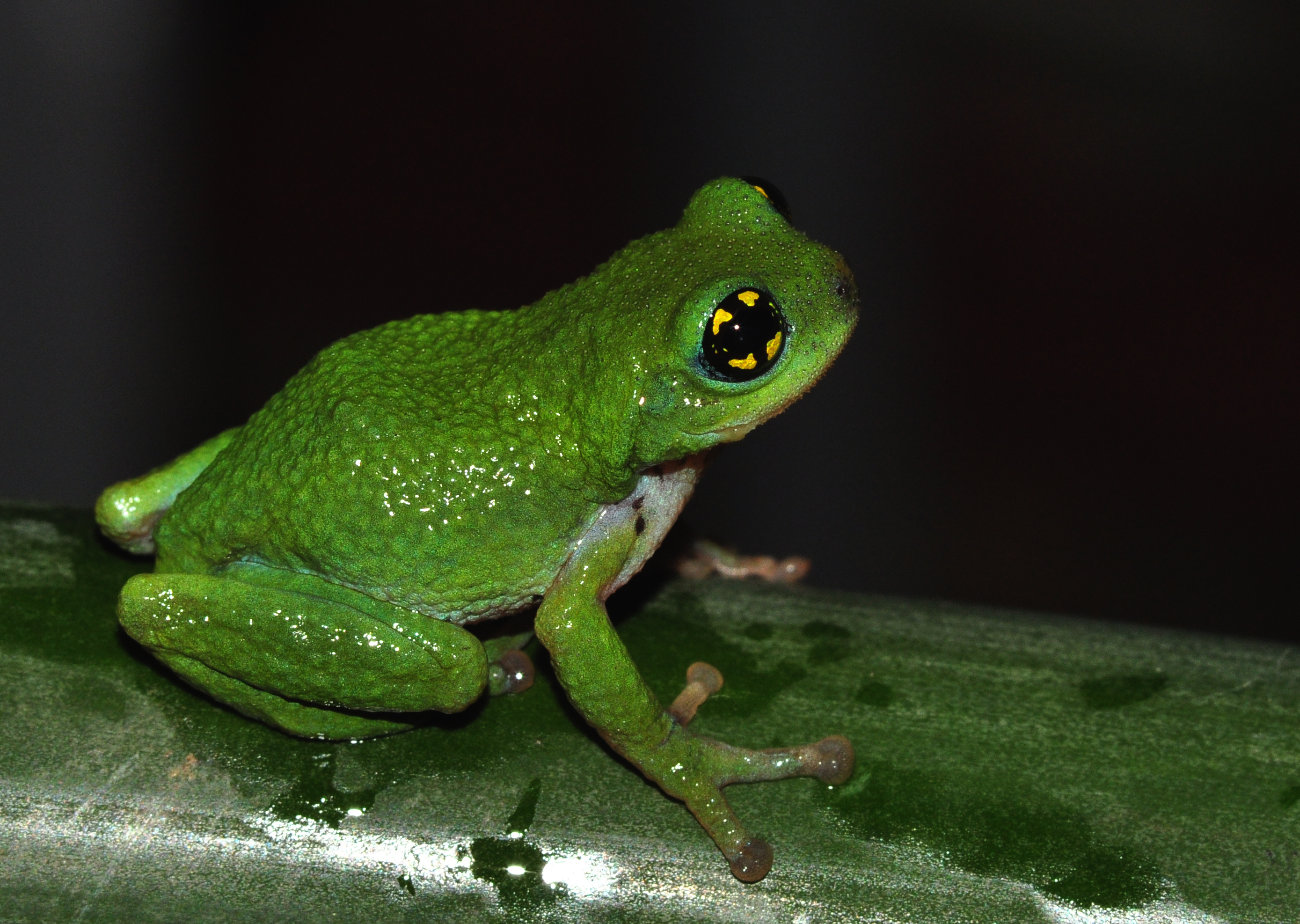 Researchers discover for the first time that a rare bush frog breeds ...