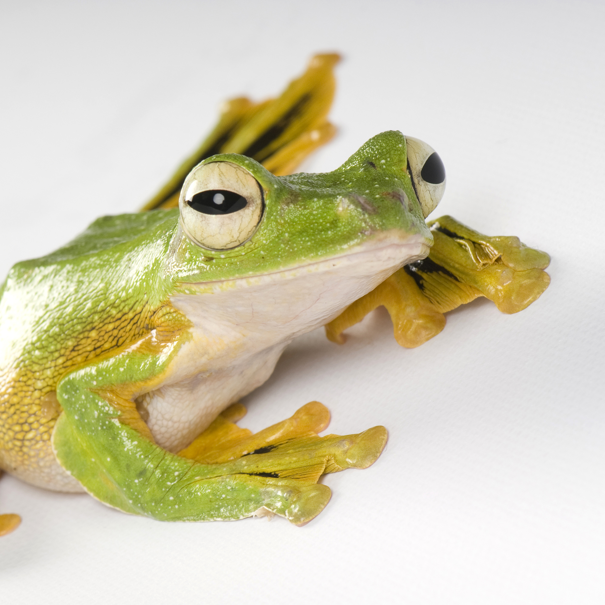 Wallace's Flying Frog | National Geographic