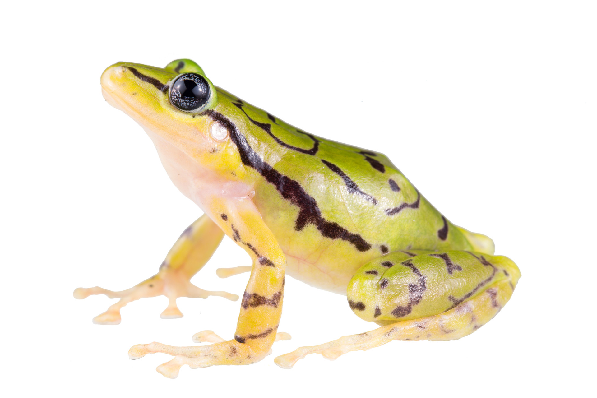 Spectacular-looking' endangered frog species discovered in Ecuador's ...
