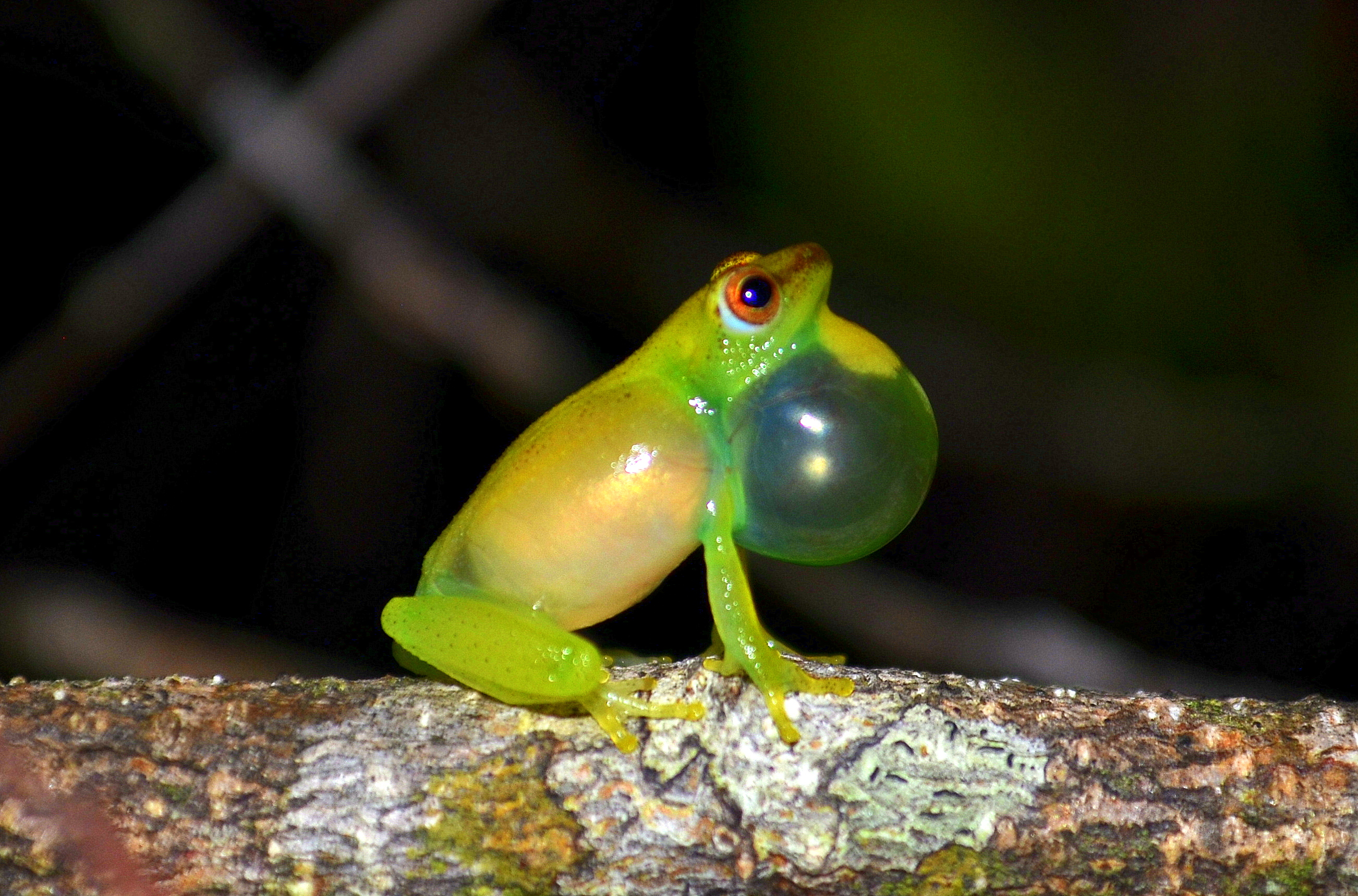 DNA untangles Gabon's complex web of frog species | Smithsonian Insider