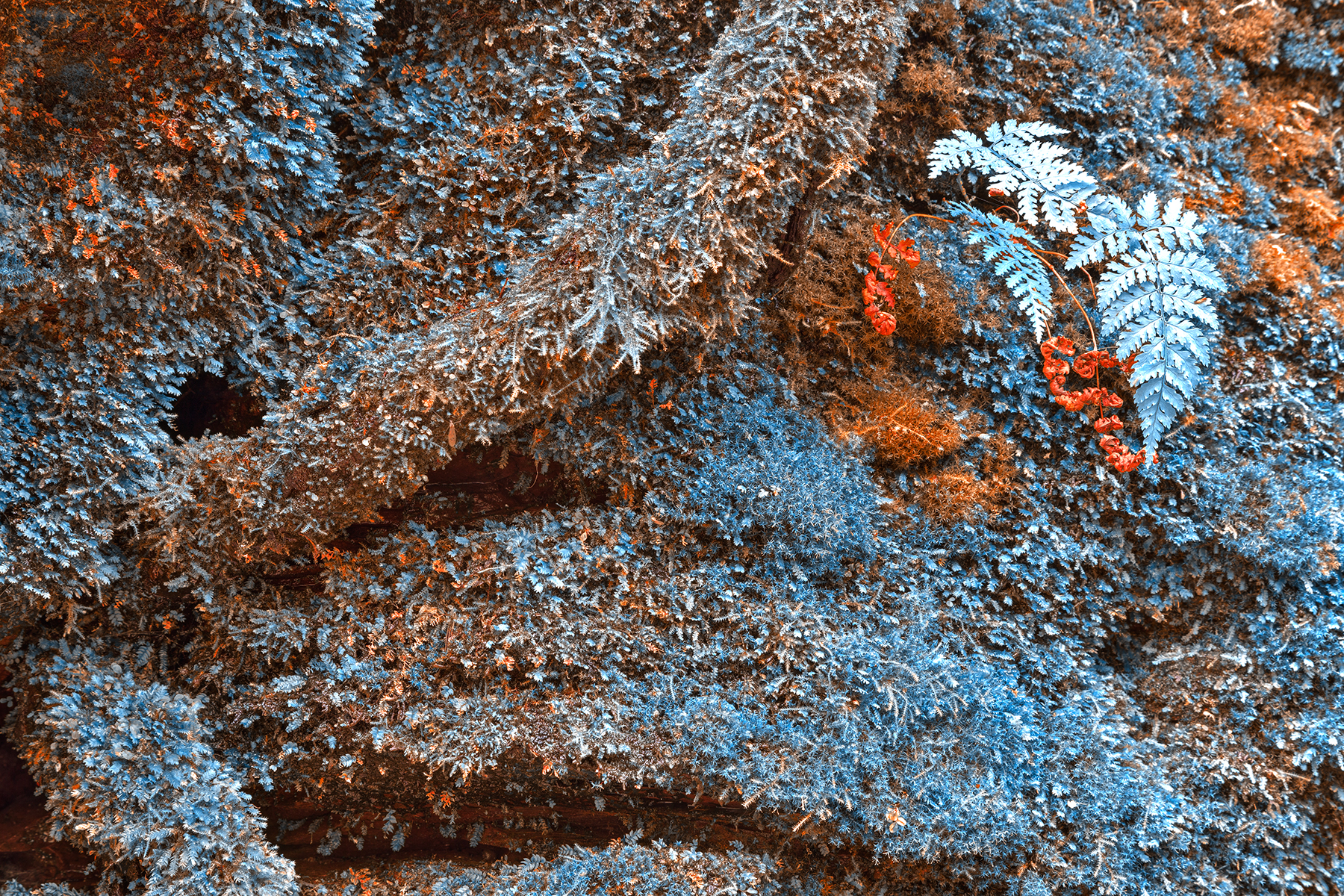 Frosty fall moss - hdr photo