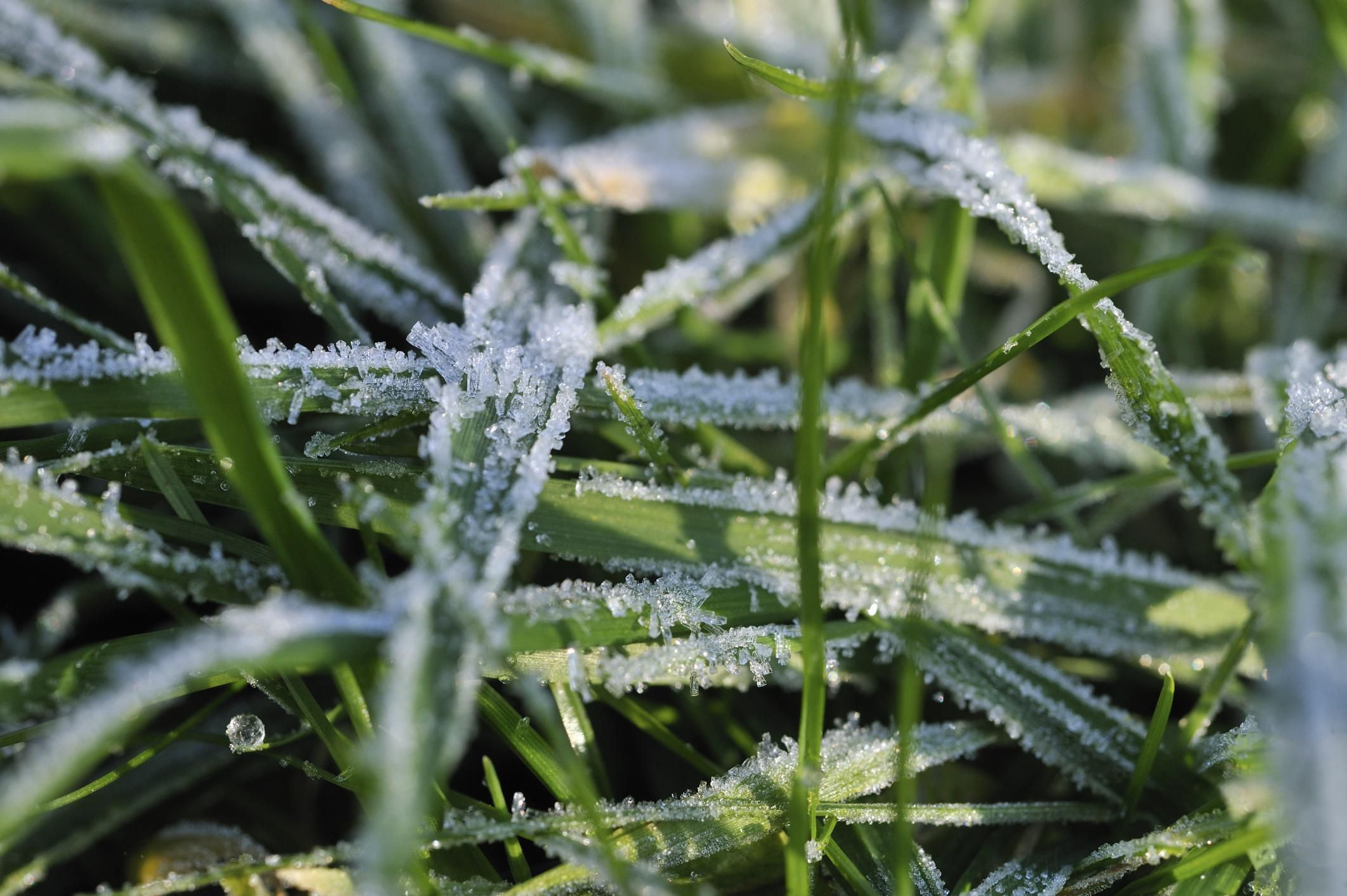 Why You Should Keep off the Lawn on Frosty Mornings