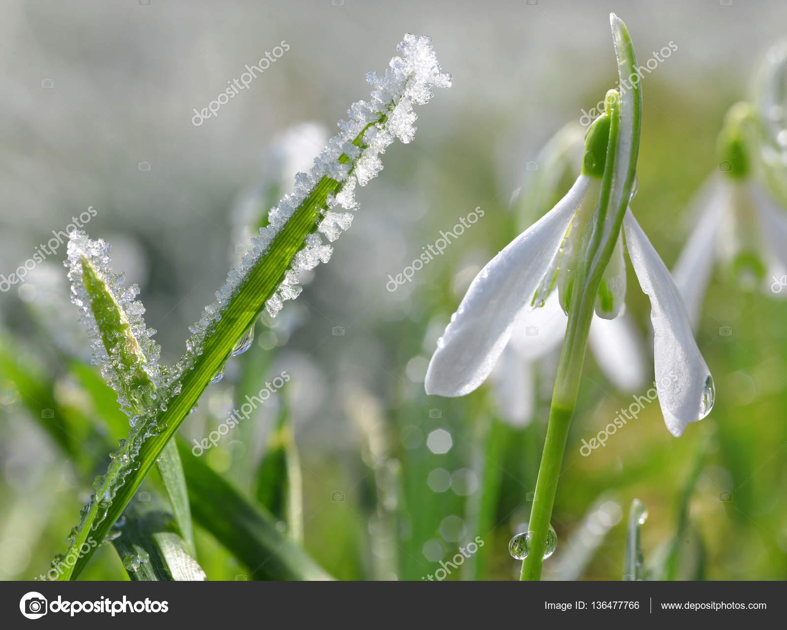 Frozen grass with blooming snowdrop flower — Stock Photo © vencav ...